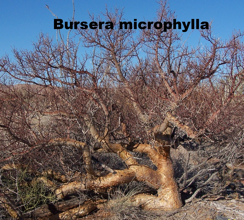 Bursera microphylla.JPG