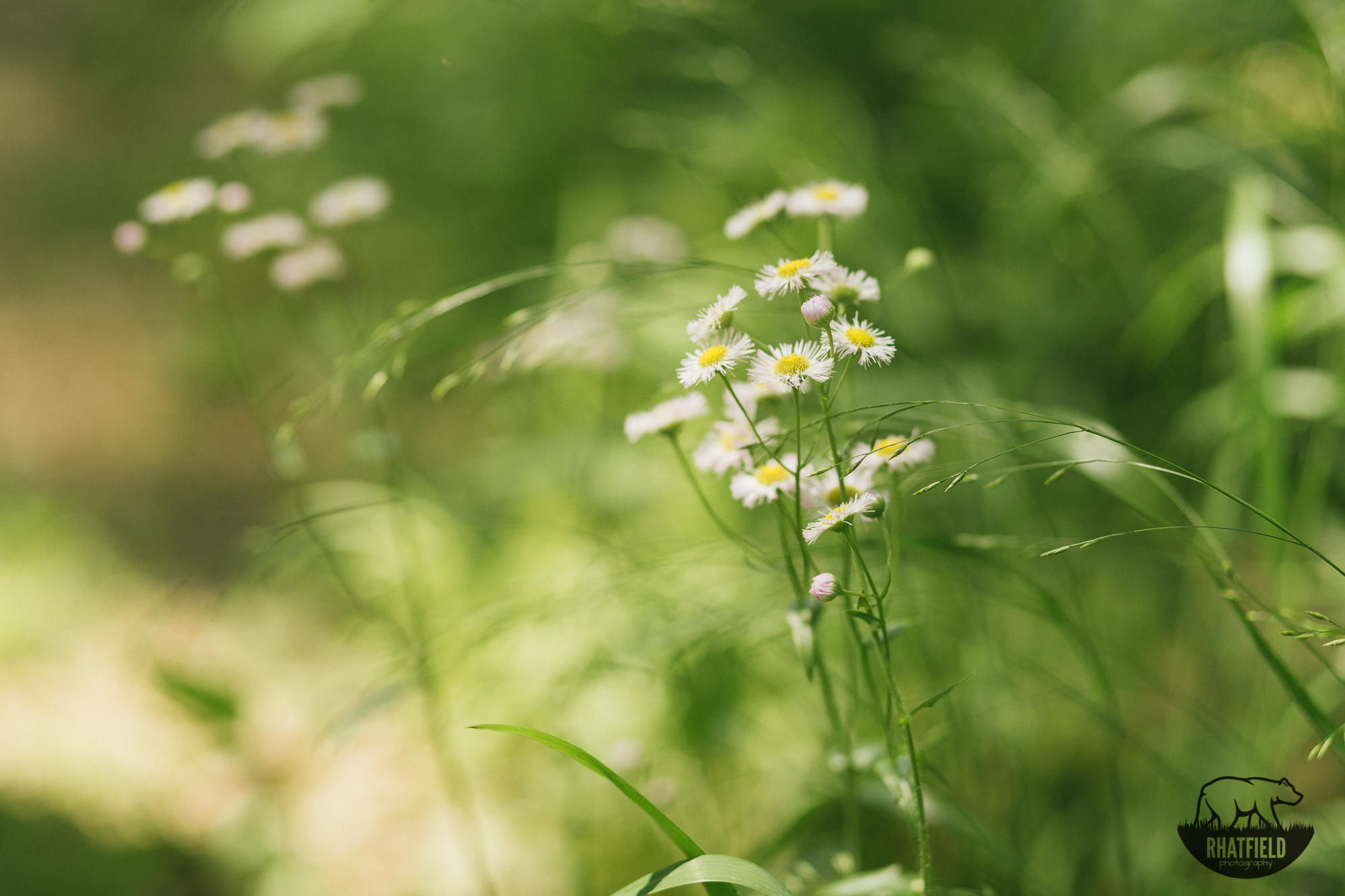 daisys-on-hiking-trail