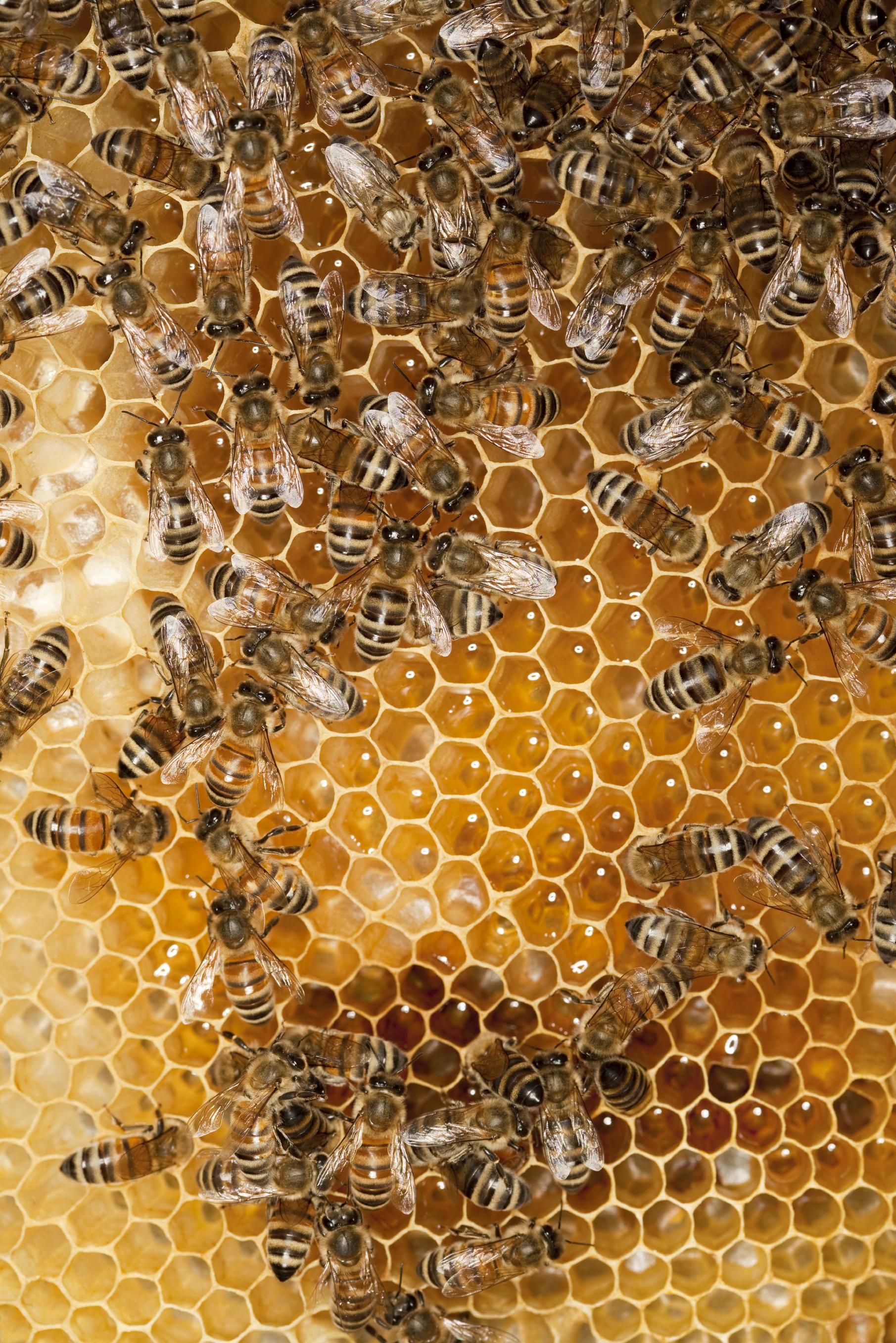 Bees on honeycomb 2.jpg