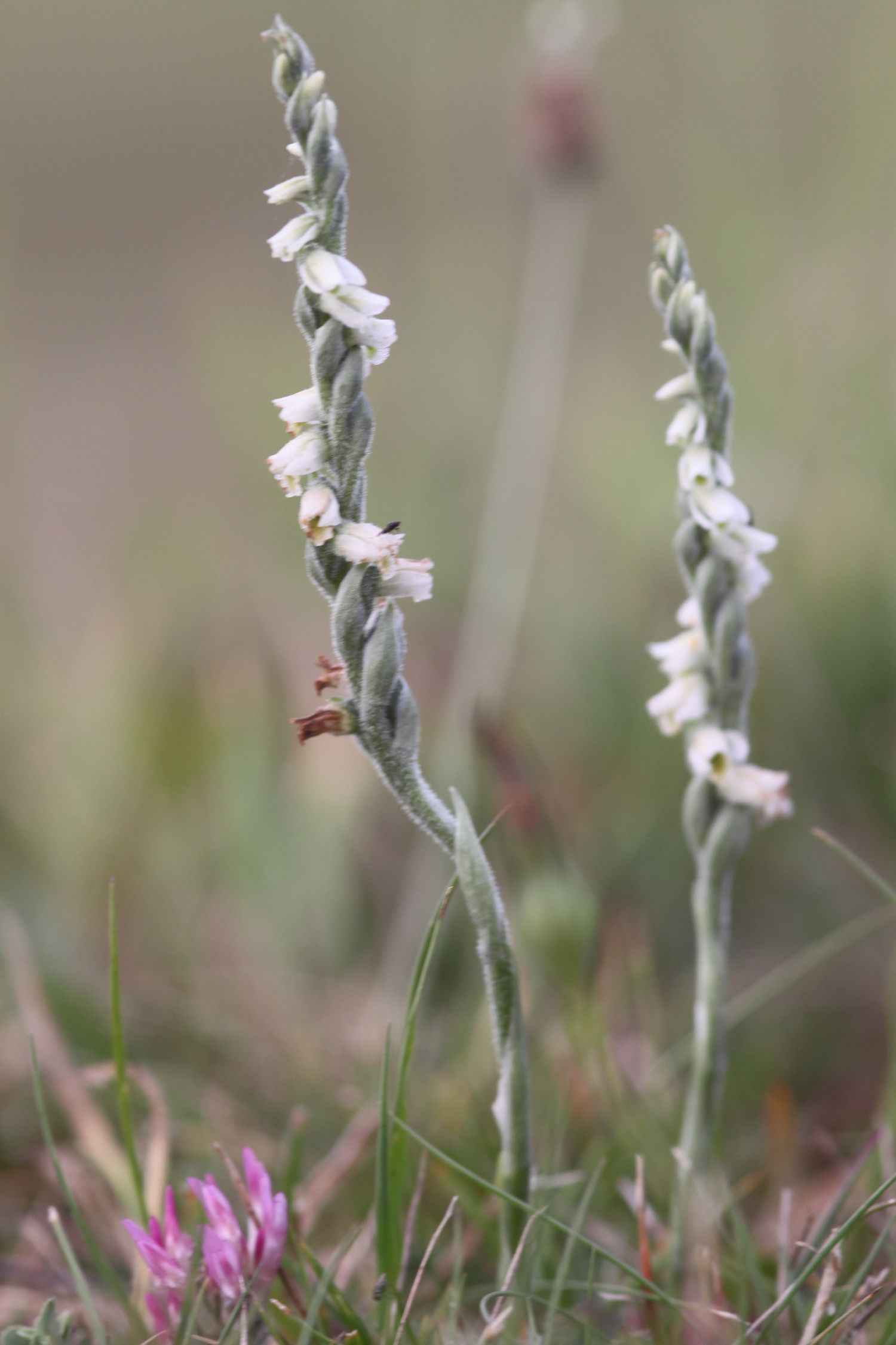 autumn ladies tresses