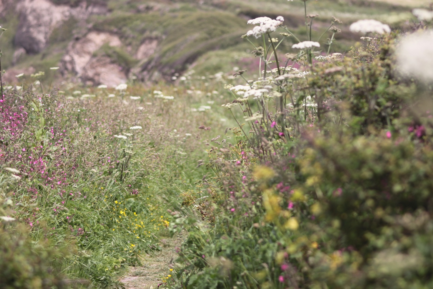 wild flowers on halzephron cliff