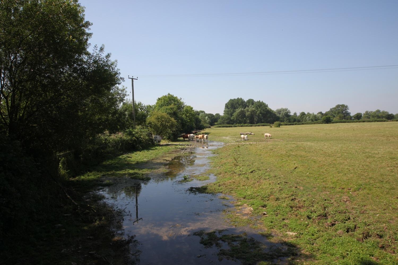 cows enjoying the water