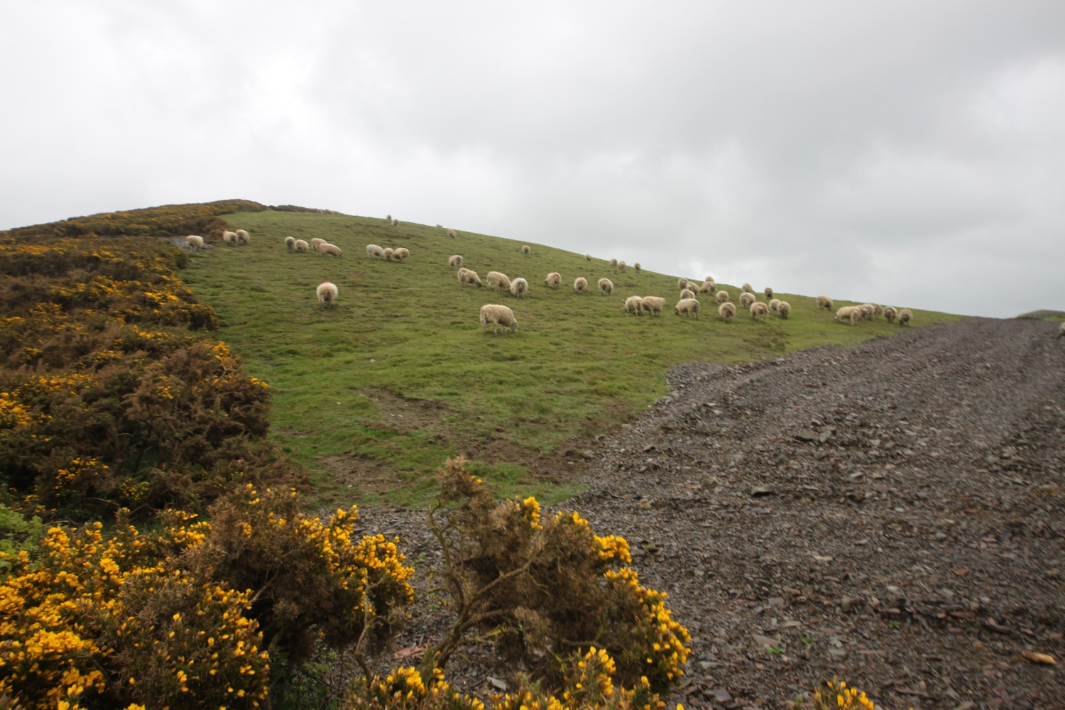 gorse and sheep