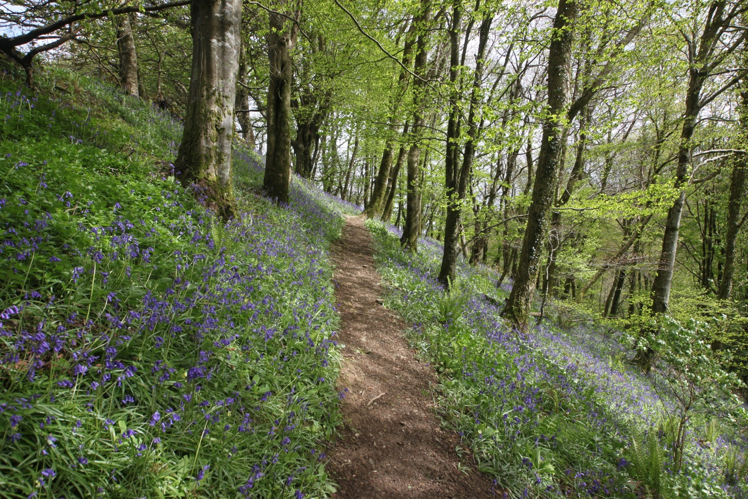 a bluebell wood