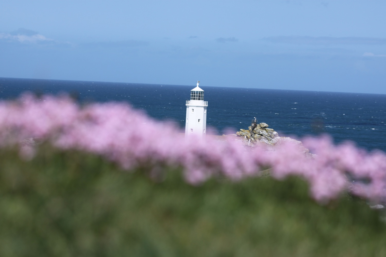 godrevy lighthouse and sea thrift