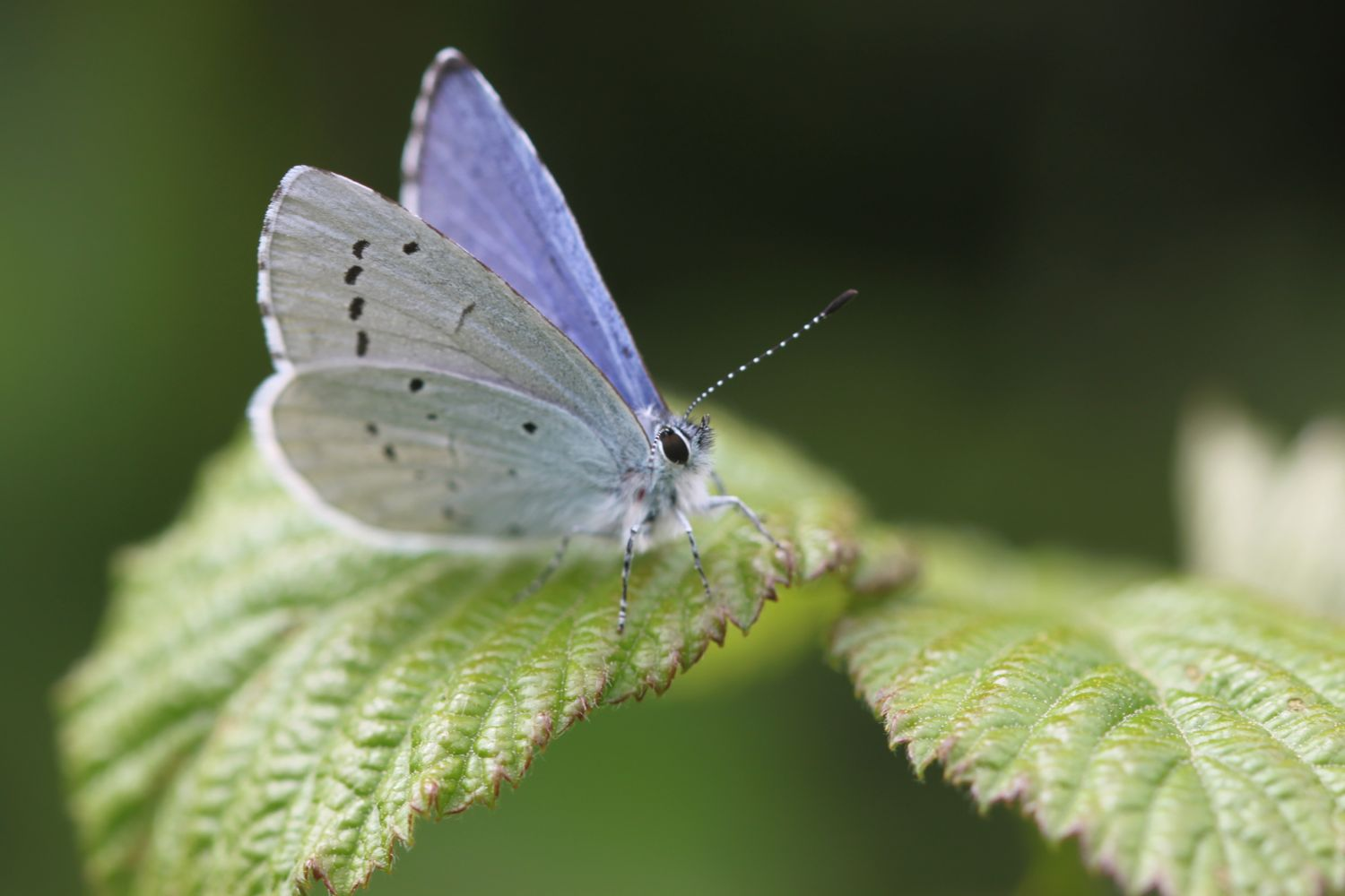 holly blue butterfly?