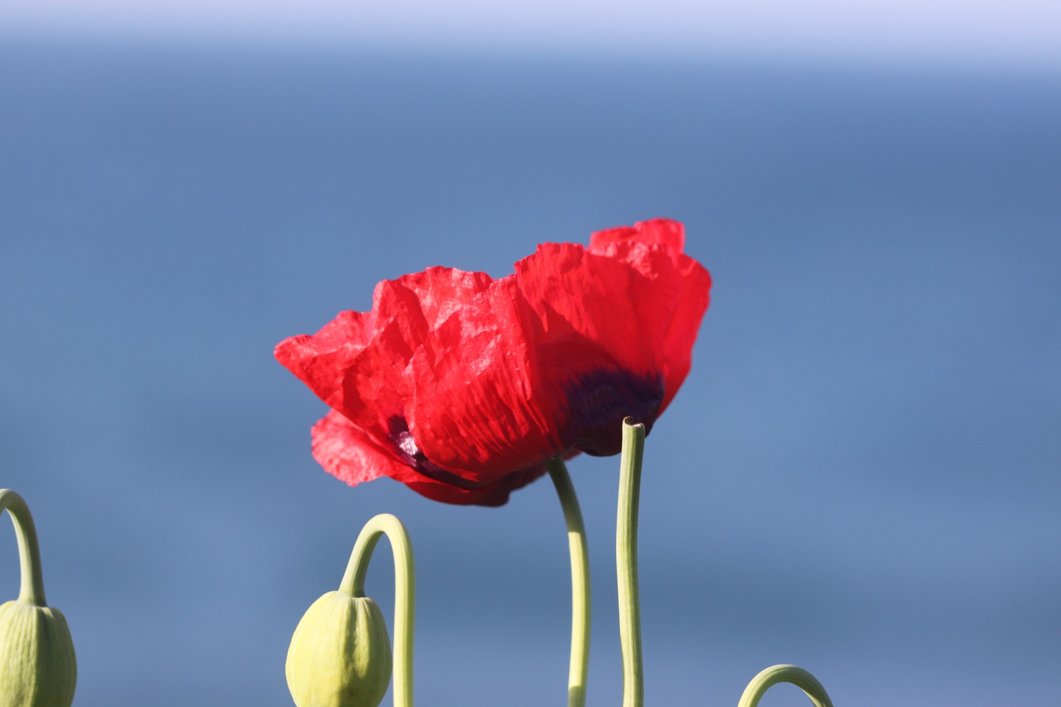 poppy over portwrinkle