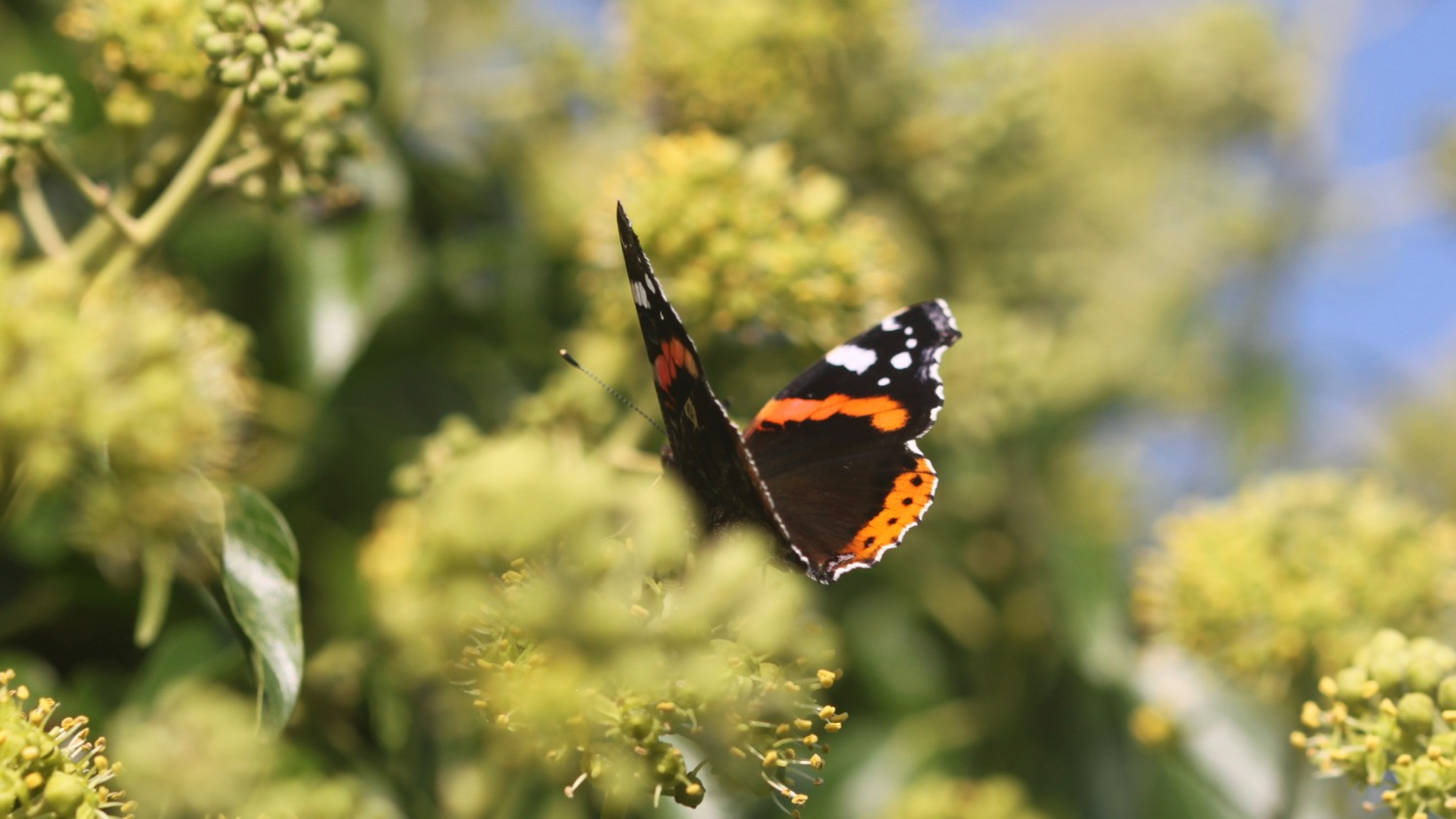 red admiral 1.jpg
