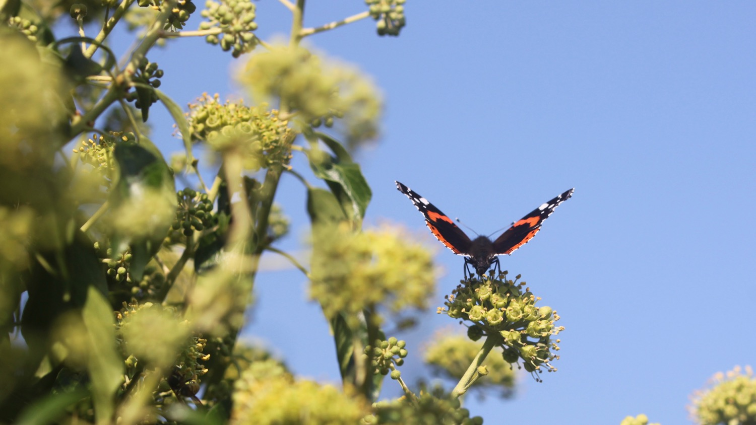 red admiral 3.jpg