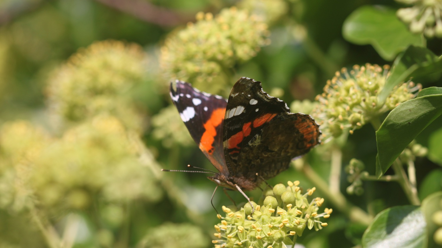 red admiral 4.jpg