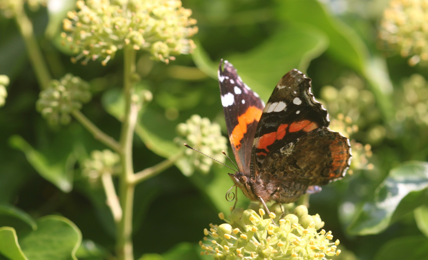 red admiral 5.jpg