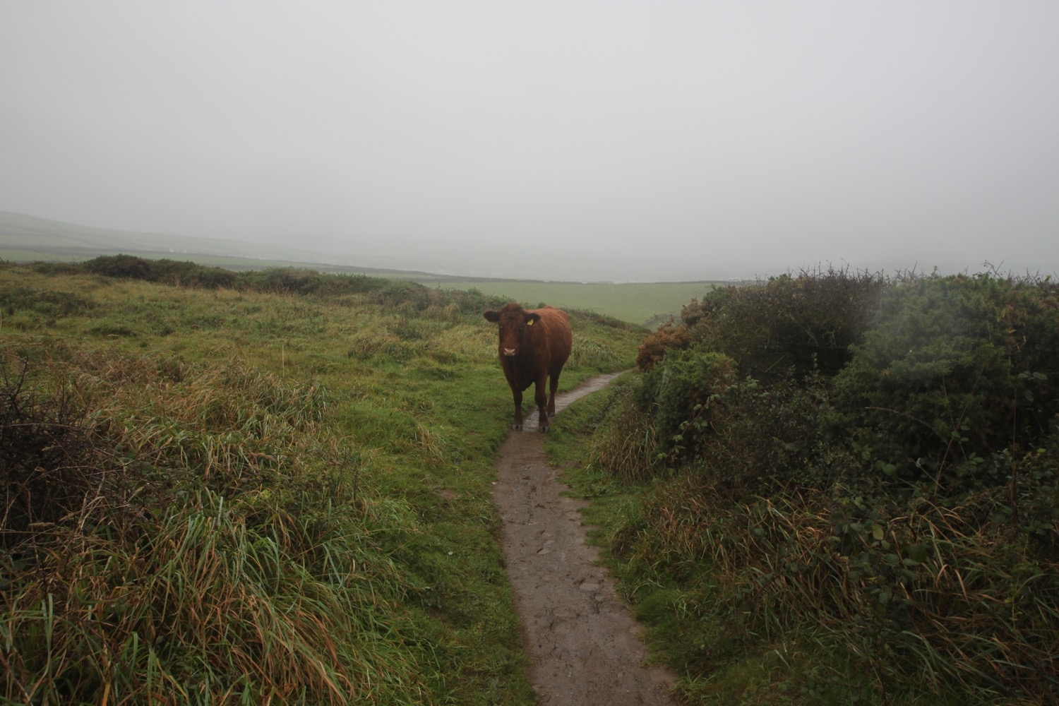 cow blocking the path