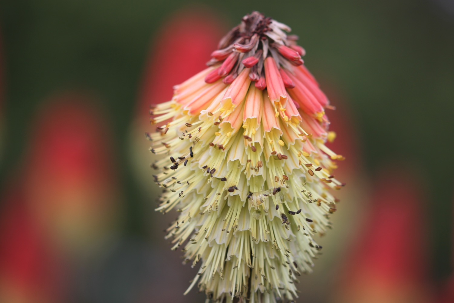red hot pokers 2.jpg