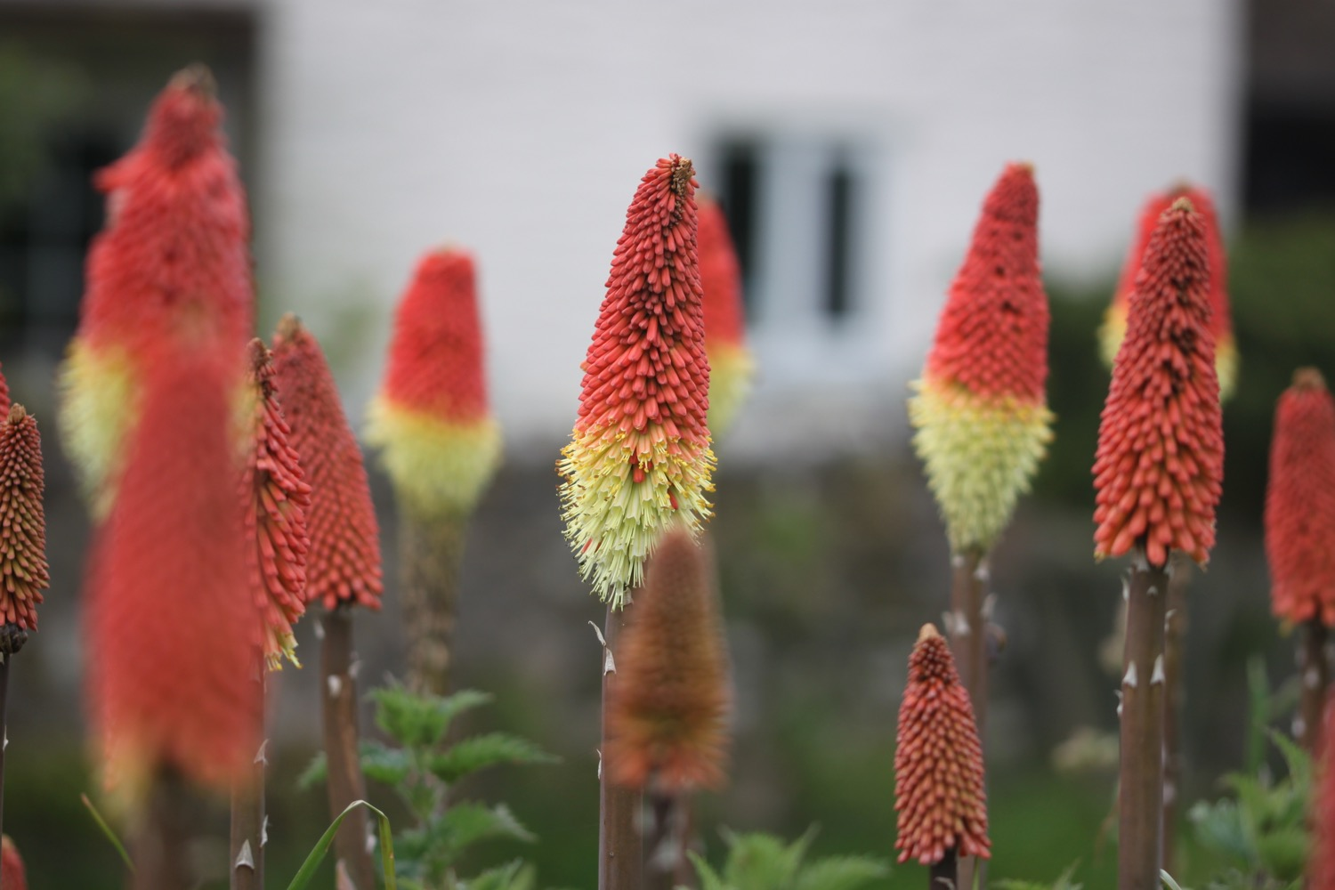 red hot pokers 4.jpg