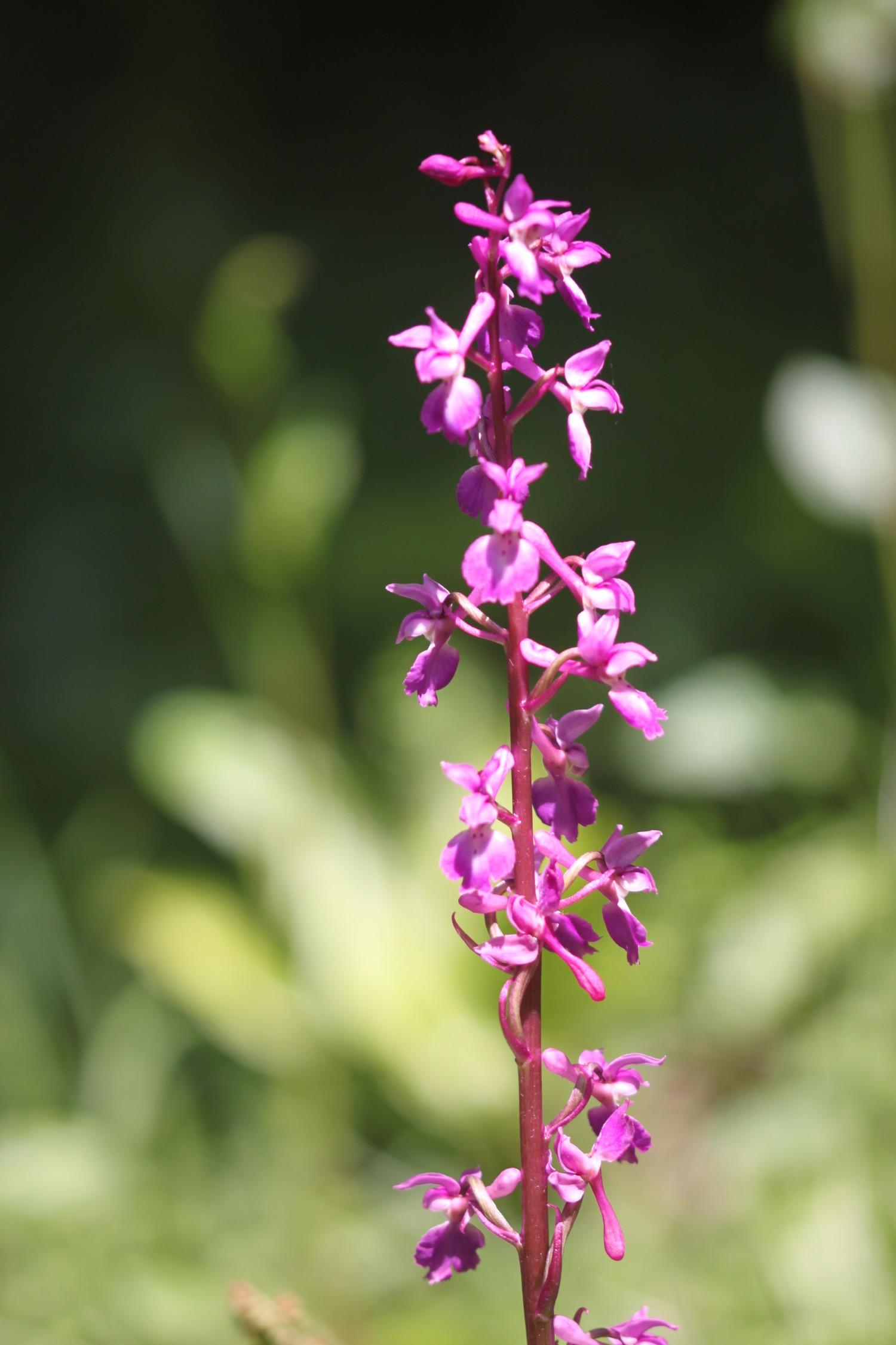orchids 8.jpg