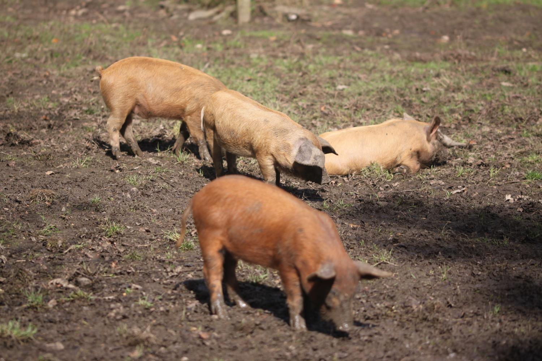 pigs 1.jpg