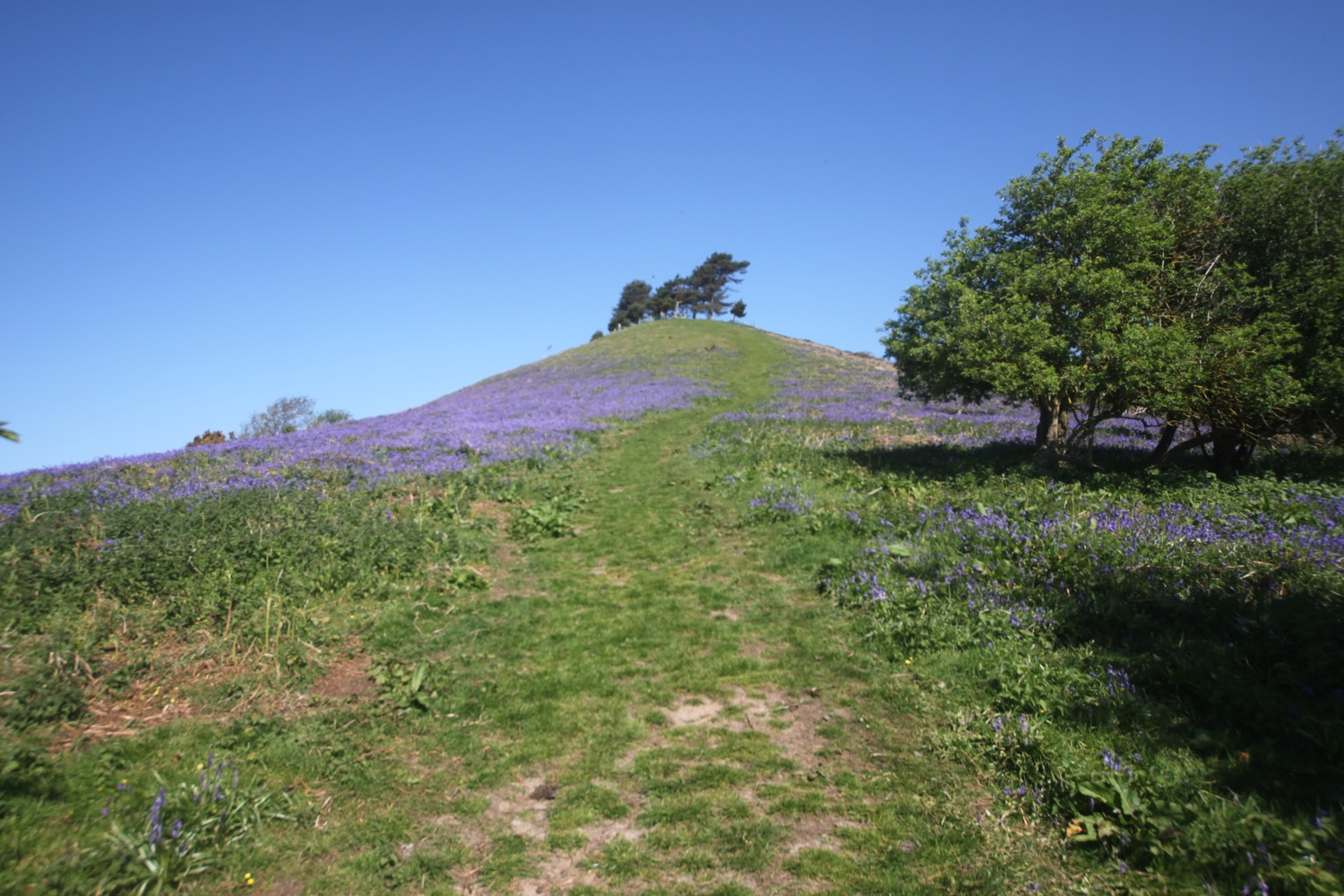 bluebells on colmer's hill
