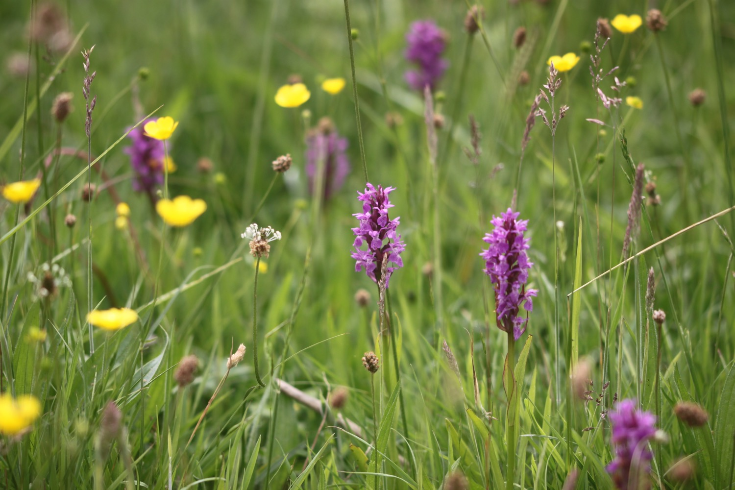southern marsh orchid 2.jpg