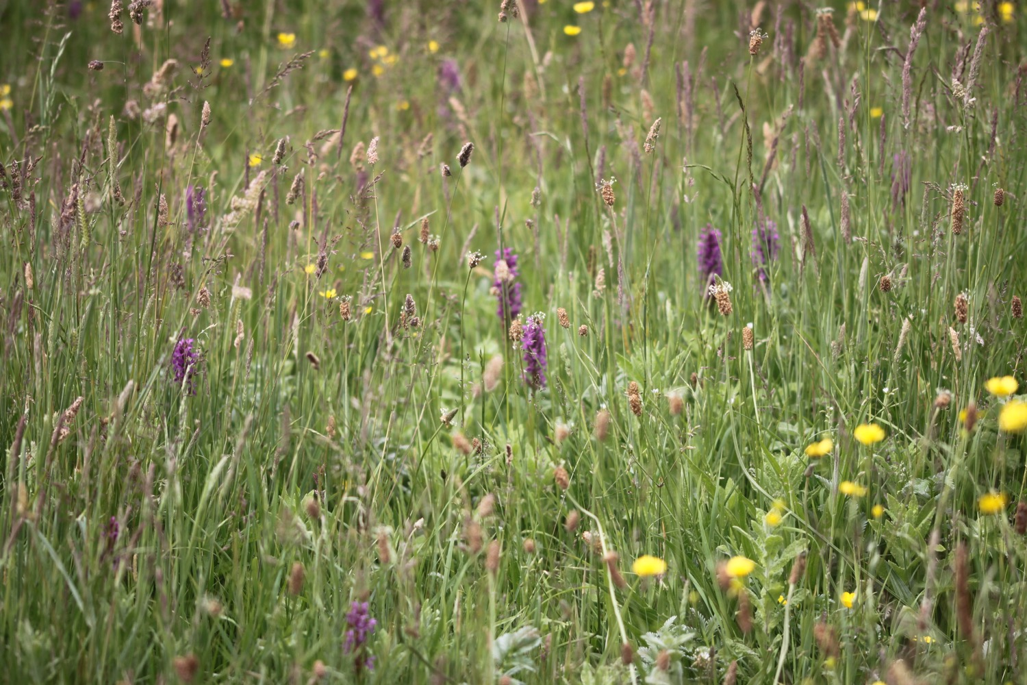 southern marsh orchid 4.jpg