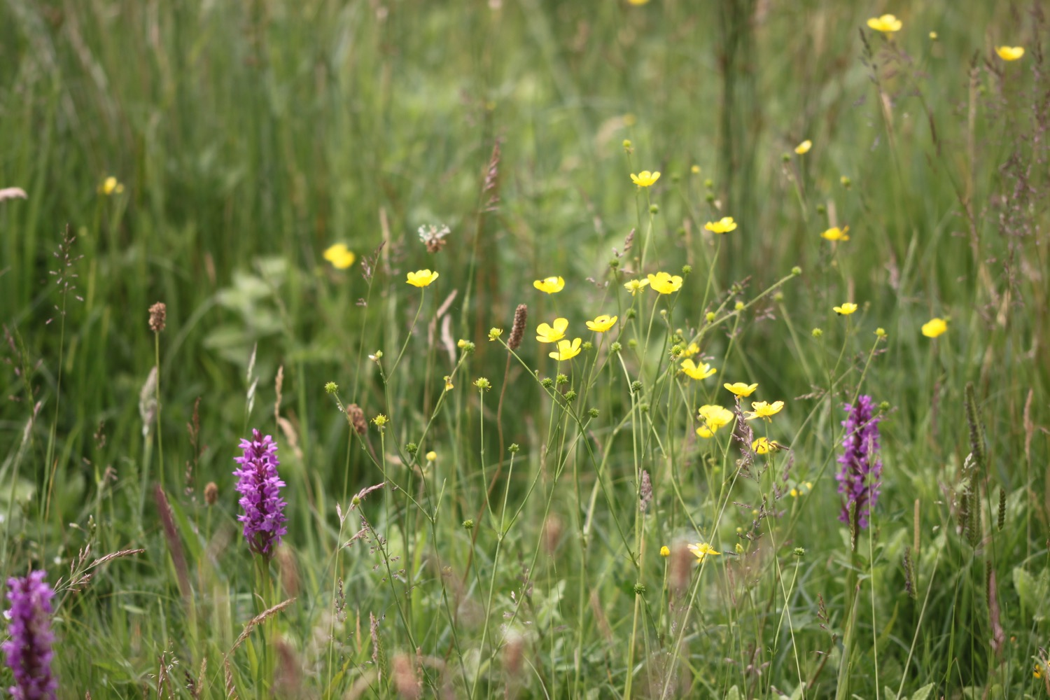 southern marsh orchid 7.jpg