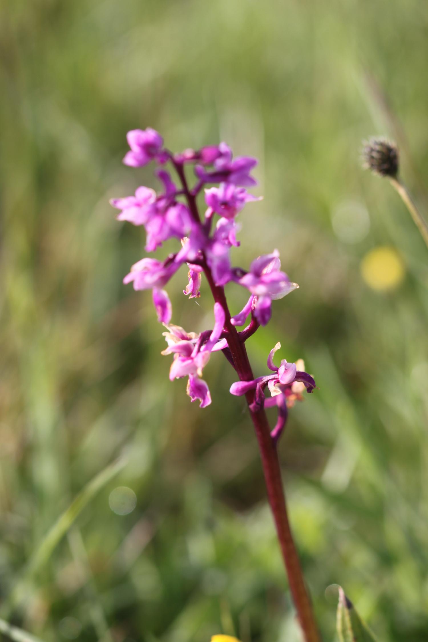 early purple orchids 3.jpg