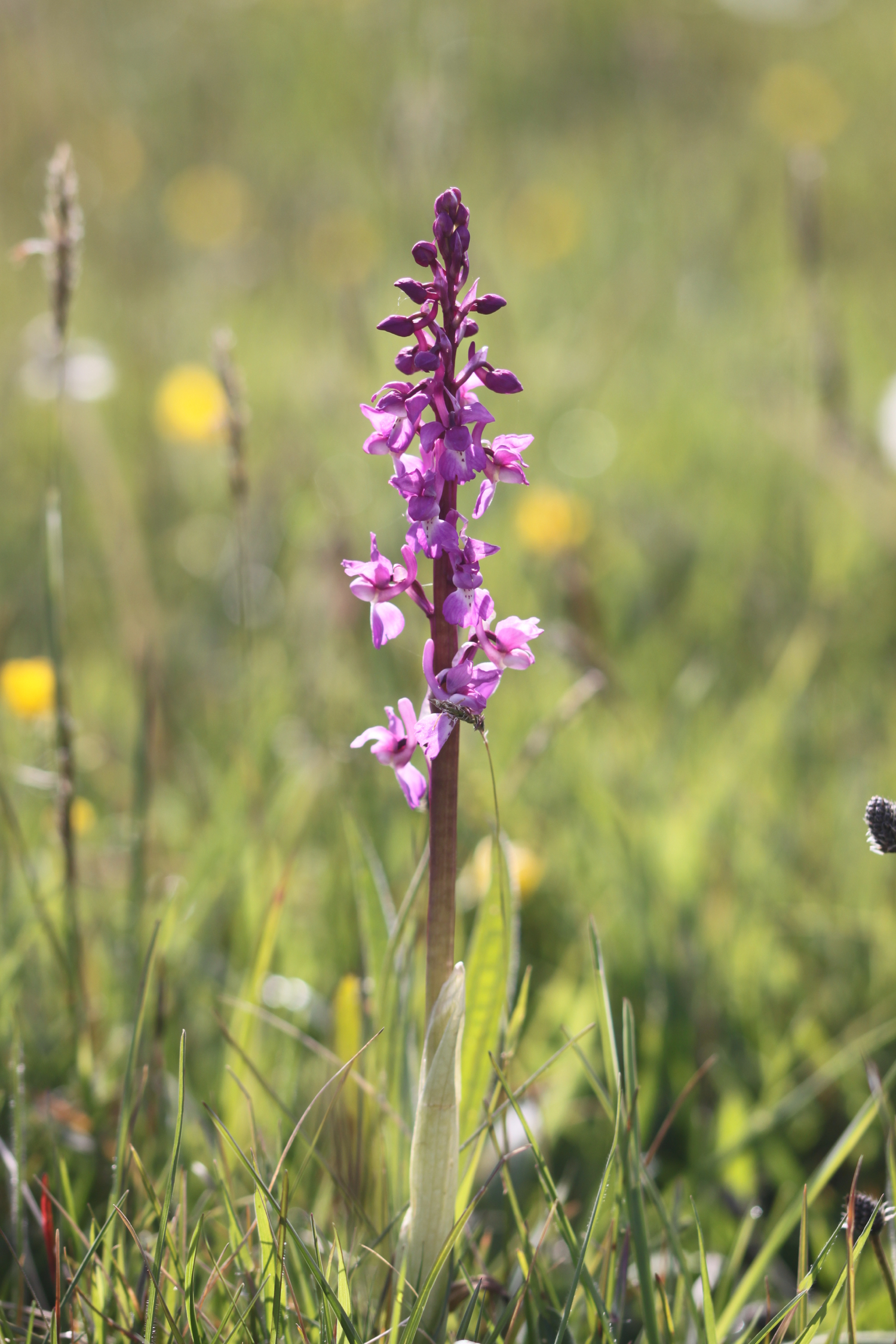 early purple orchids 4.jpg