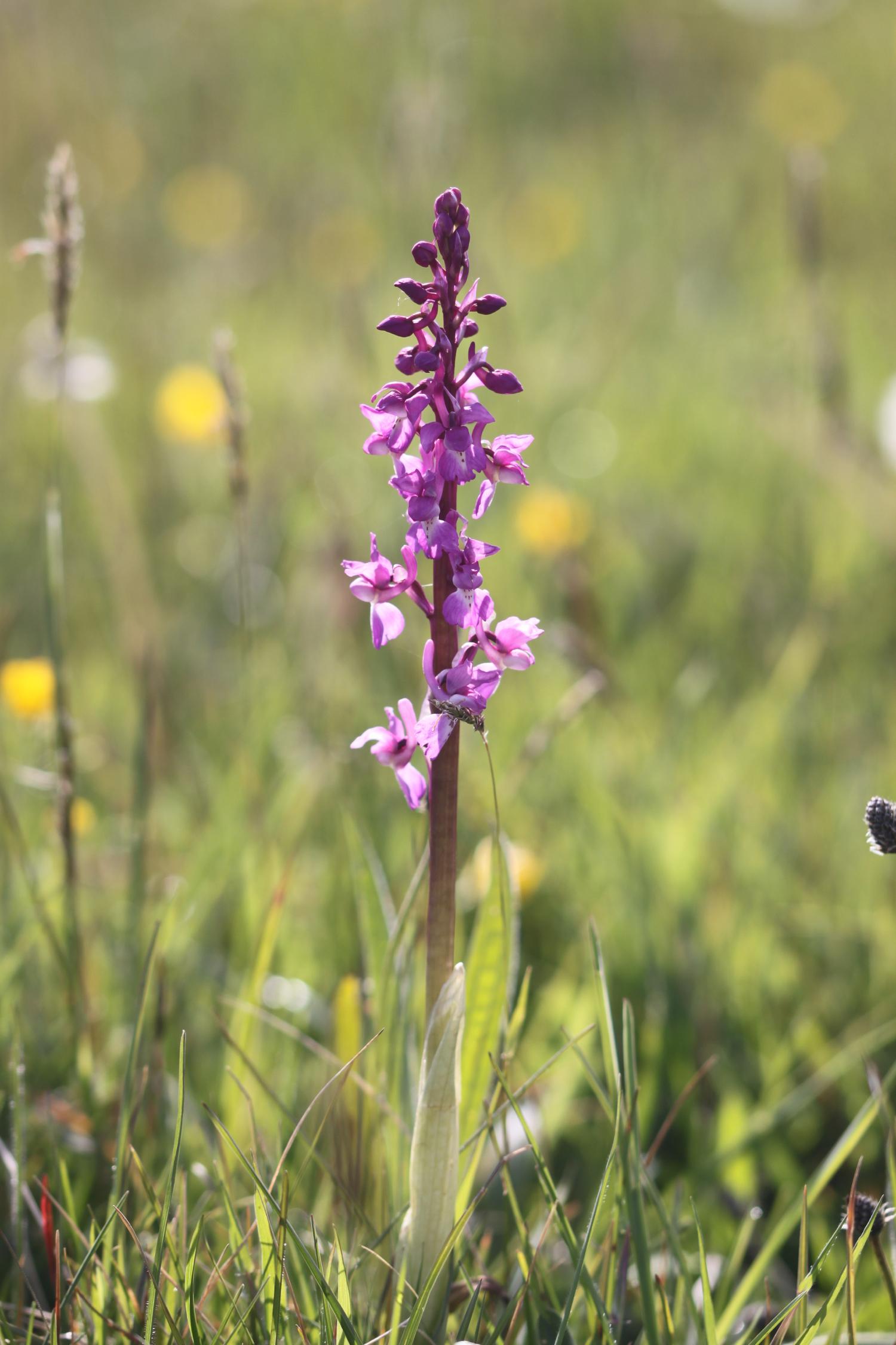 early purple orchids 4.jpg