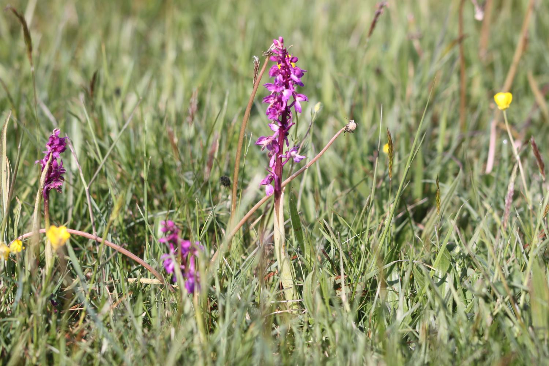 early purple orchids 5.jpg