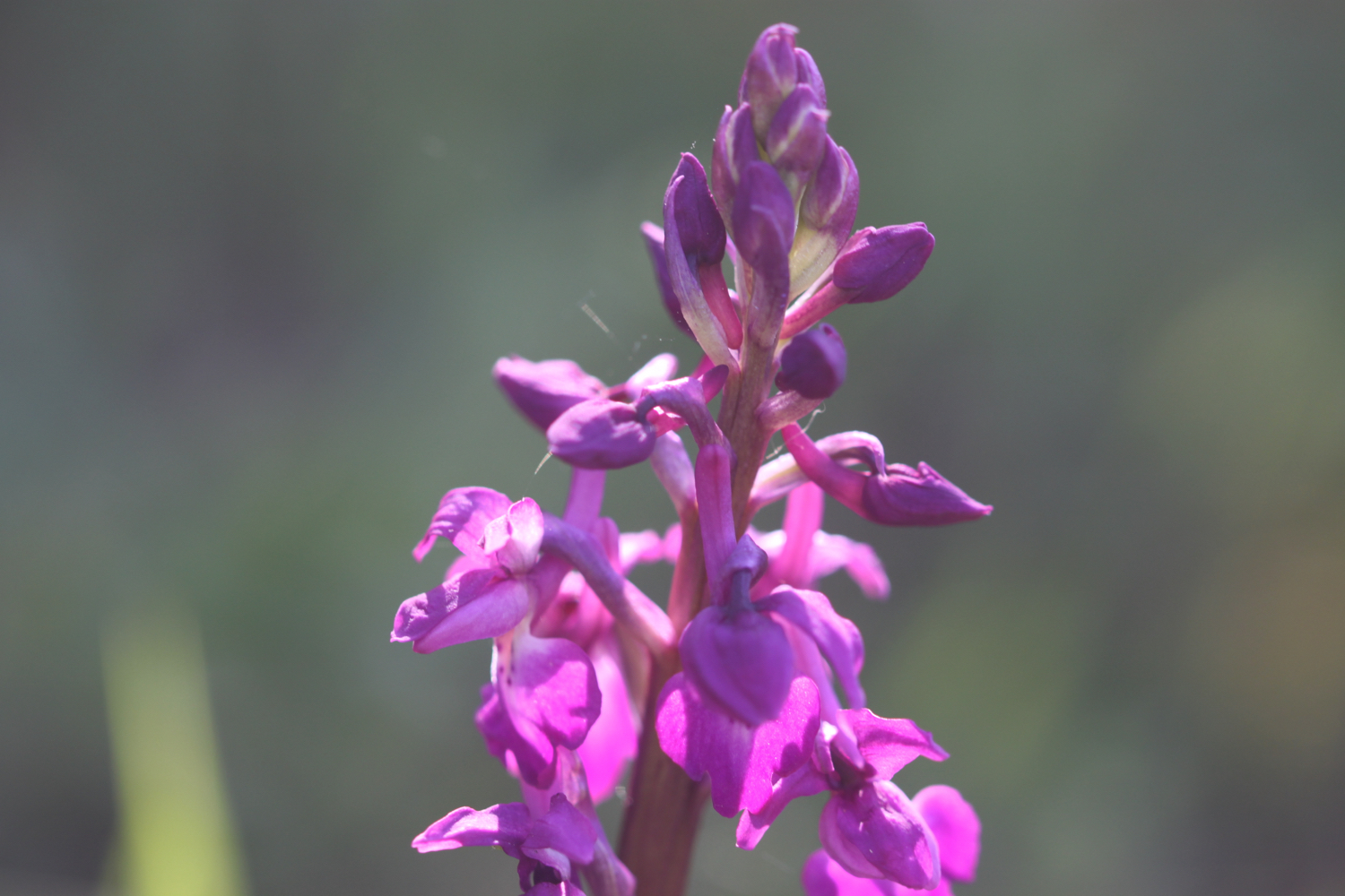 early purple orchids 3.jpg