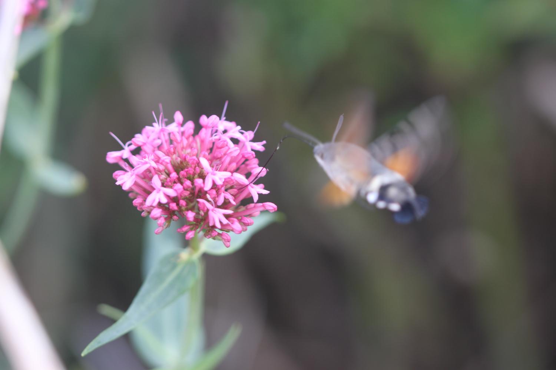 ghostly hummingbird hawk-moth