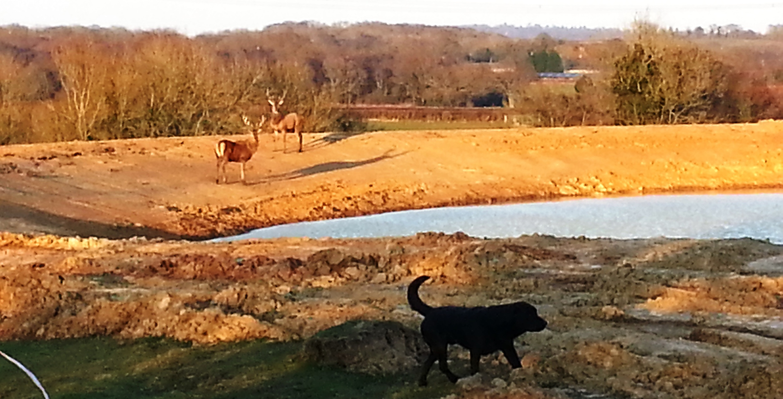 Red stags at Brick Farm's new lake