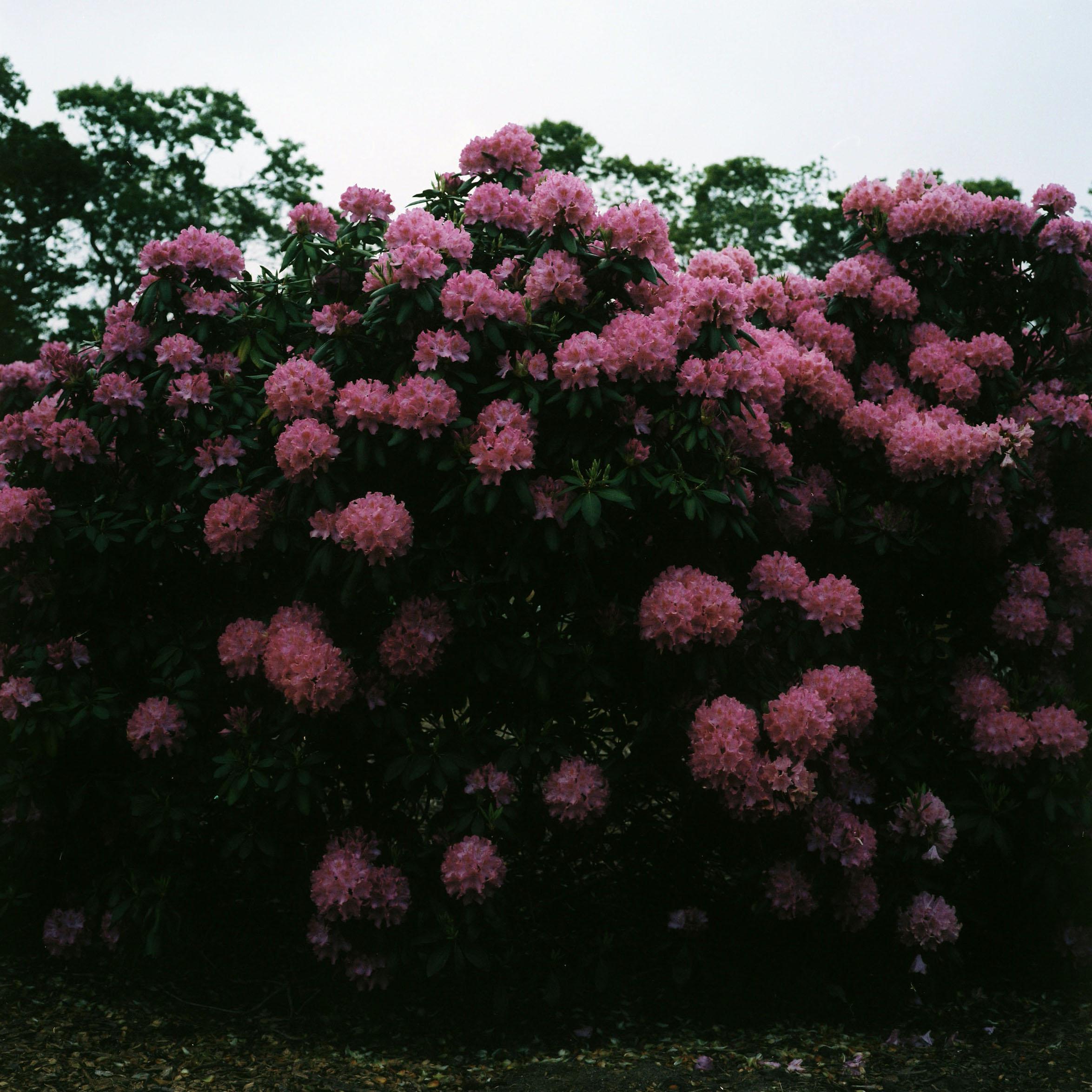 carl's rhodendrums.jpg