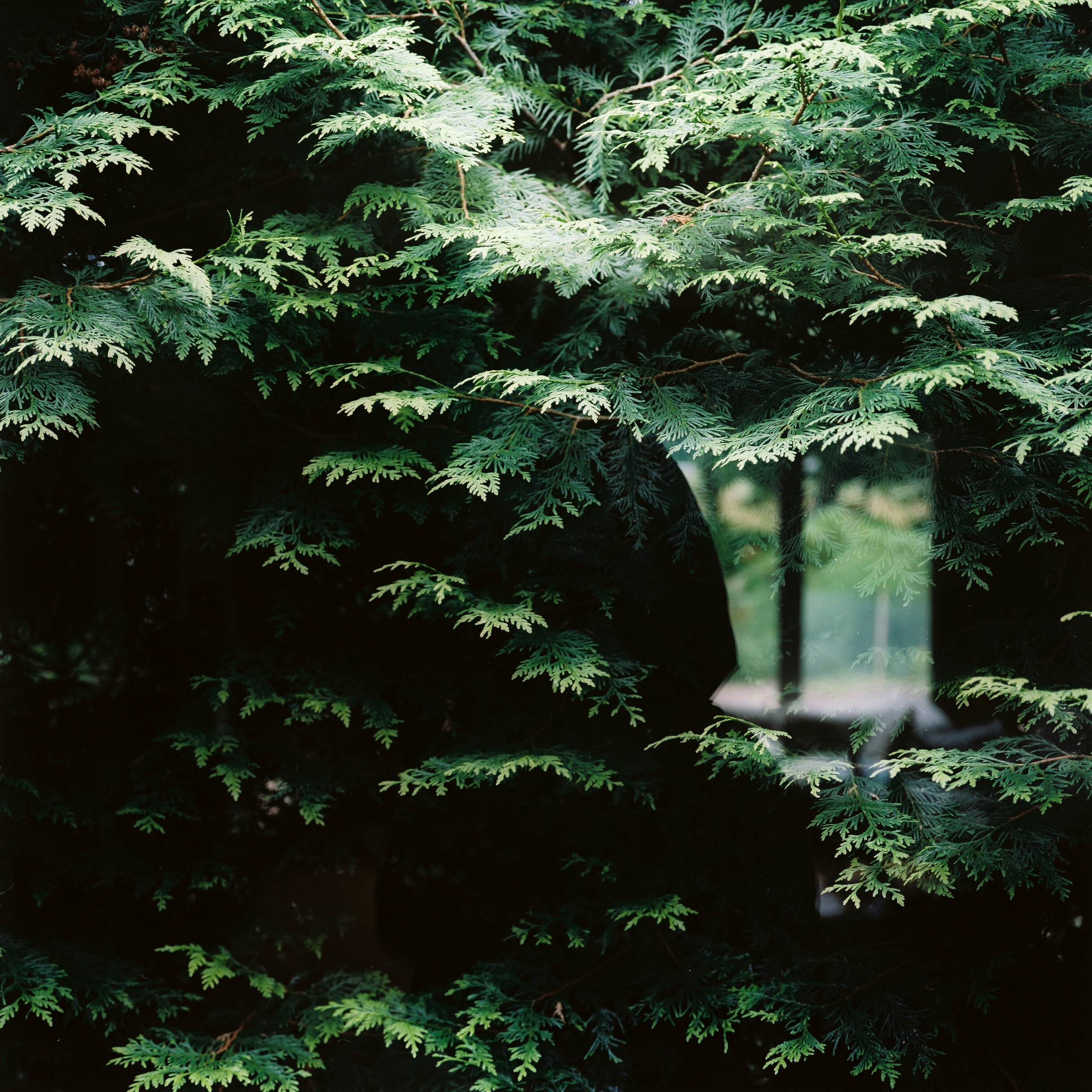 hemlocks in the window.jpg