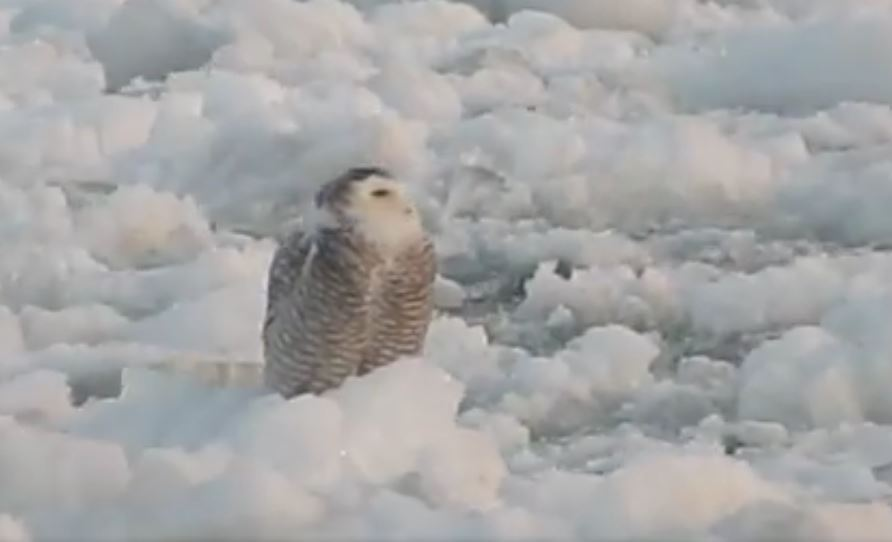 lake ontario ice + owl 2.JPG