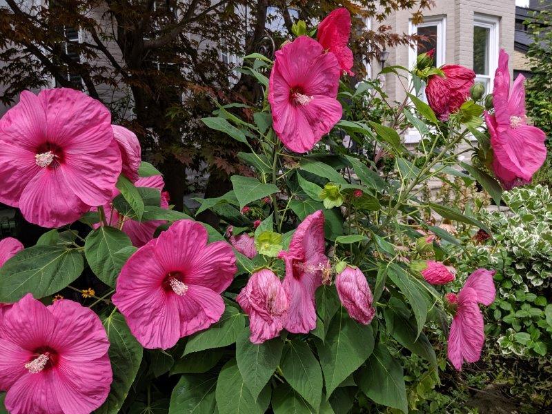 MacP big pink flowers IMG_20190904_143413_1.jpg