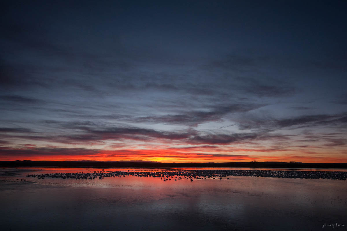 Sunrise over the Bosque, and thousands of light geese