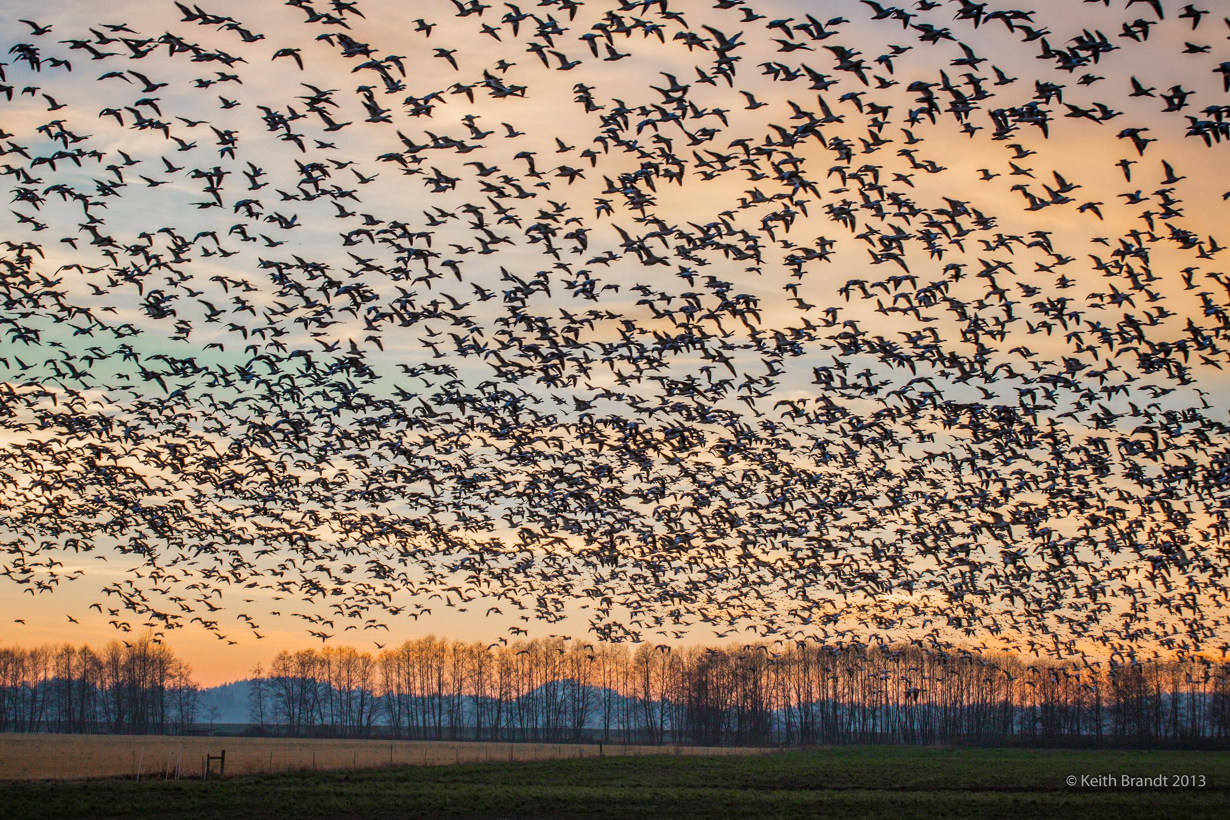 Snow Geese Sunset