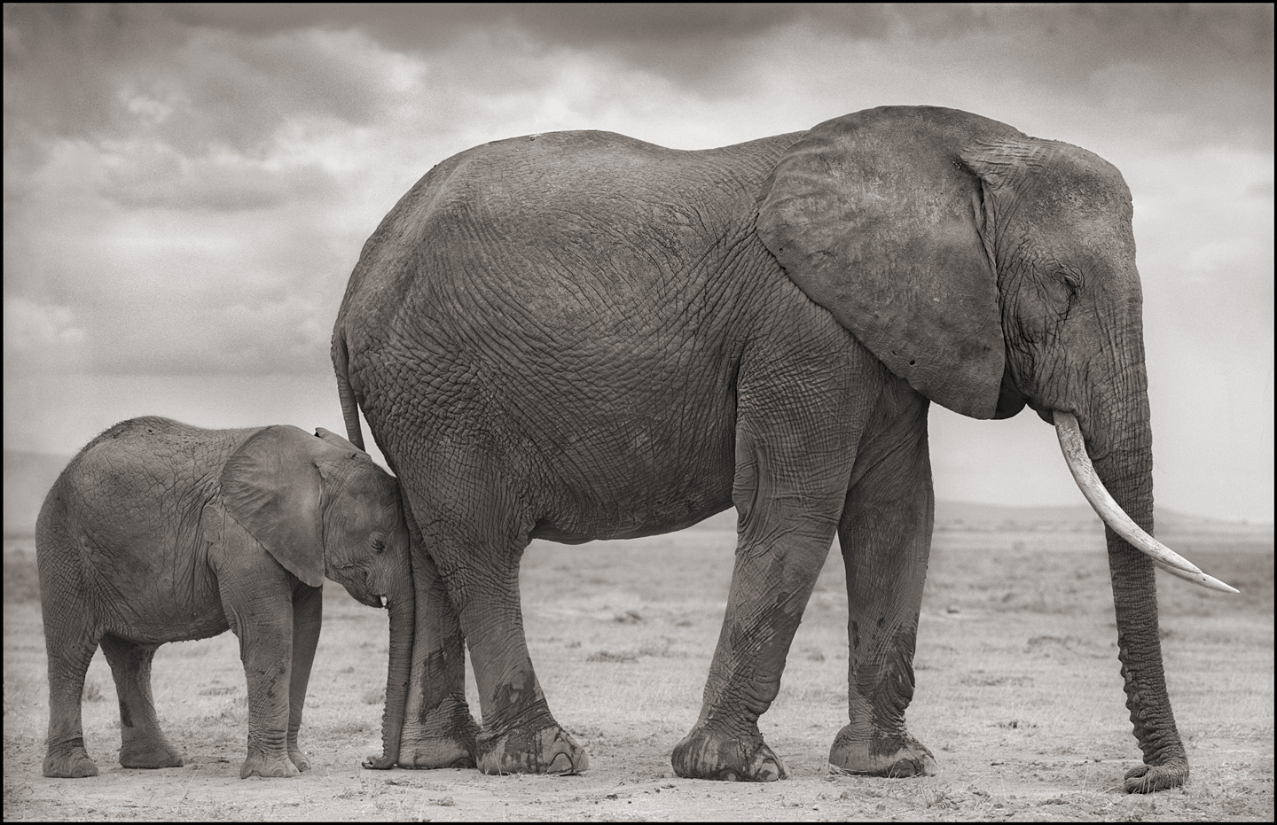 © Nick Brandt, Elephant Mother with Baby at Leg, Amboseli, 2012. Courtesy of the Artist and Hasted Kraeutler, NYC.