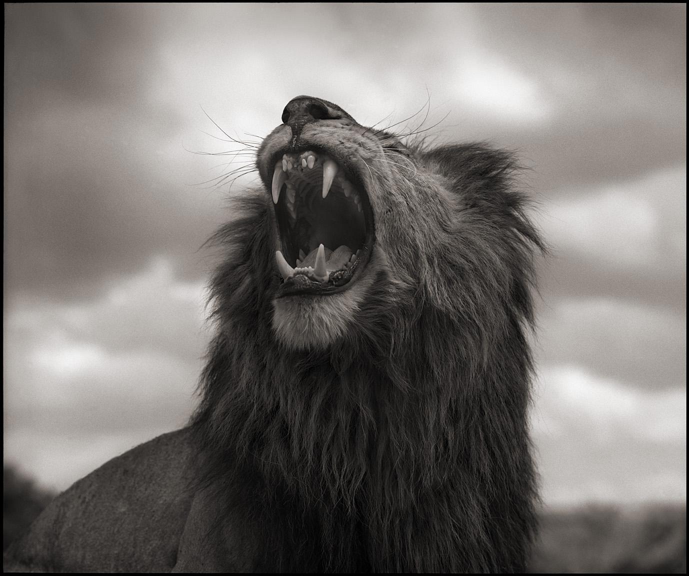 © Nick Brandt, Lion Roar, Maasai Mara, 2012. Courtesy of the Artist and Hasted Kraeutler, NYC.