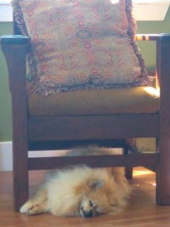 My office mate (AKA my pet Pom, Spike) sleeping on the job. Shelby, Katrina, and the camp kids were much livelier coworkers!