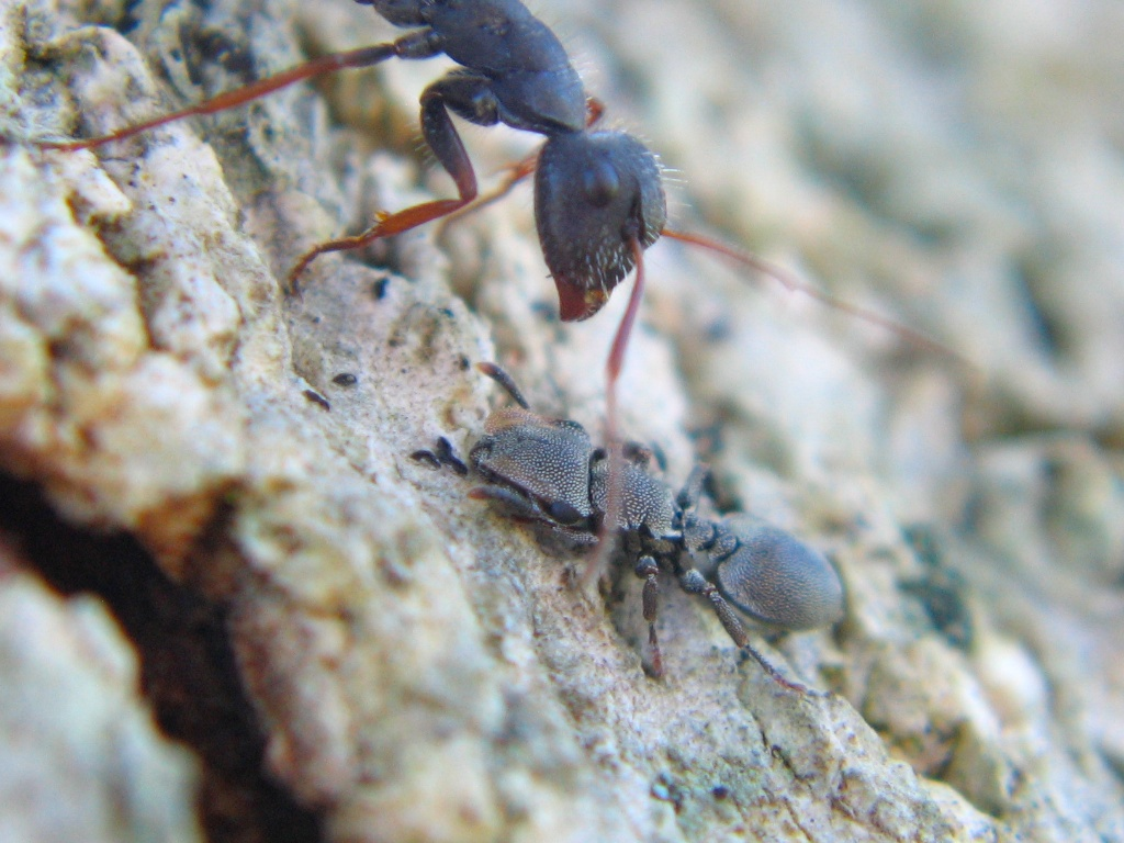 "A  Cephalotes depressus  worker adopting a defensive ""turtling"" posture as a larger  Camponotus  worker looms overhead."
