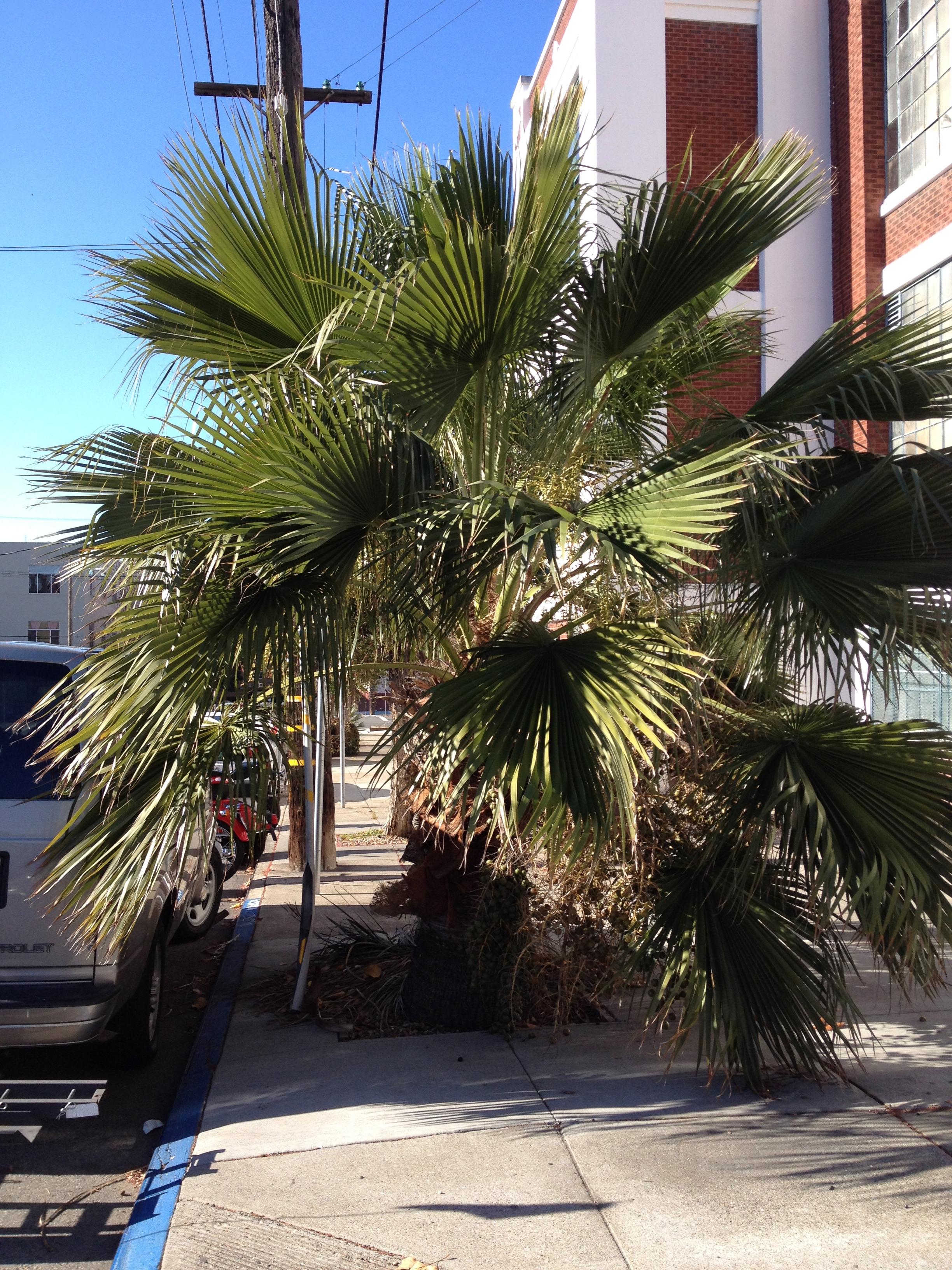 Guadalupe palm at corner of Florida and Mariposa