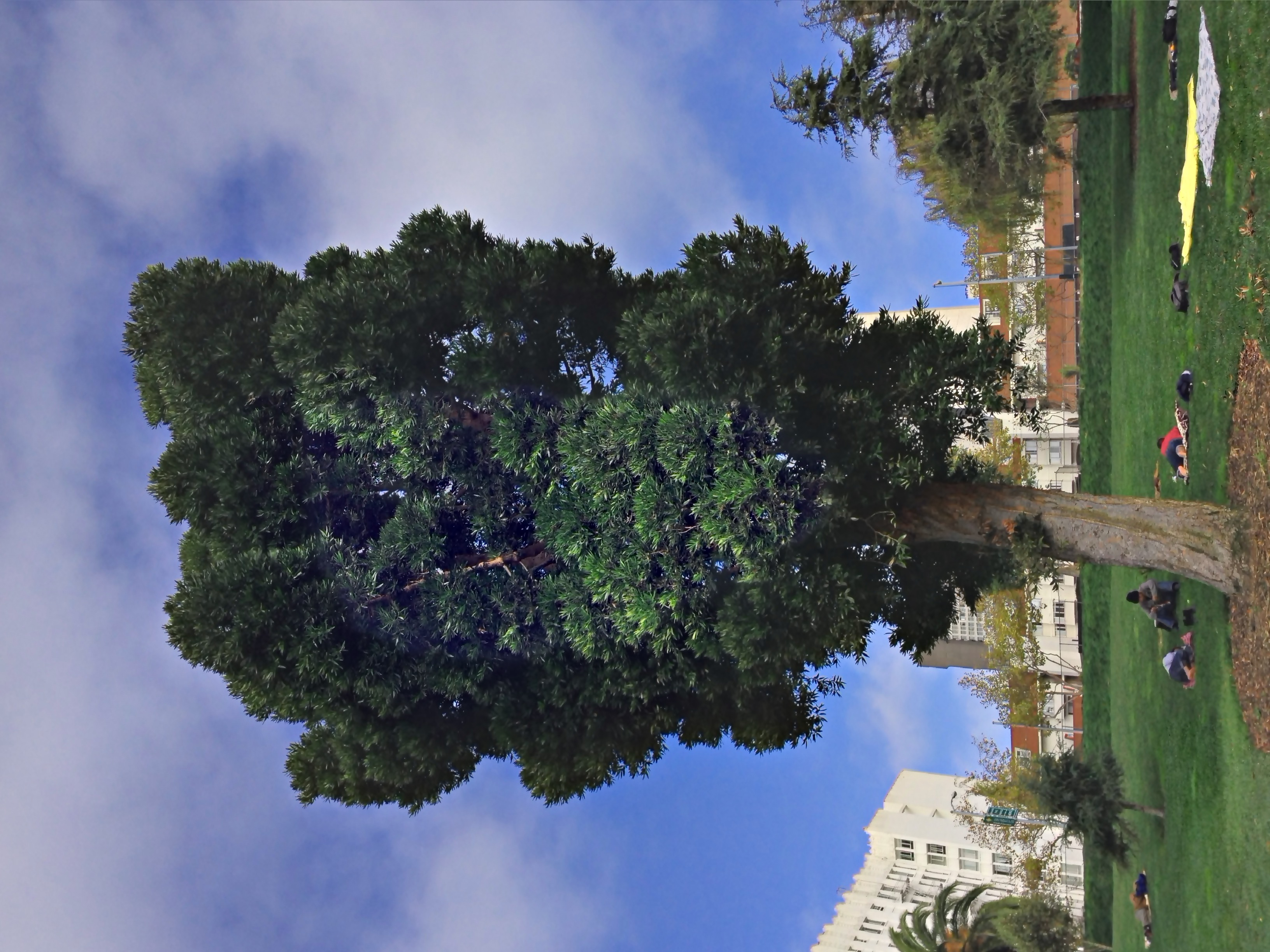 Jefferson Square Park - Queensland kauri