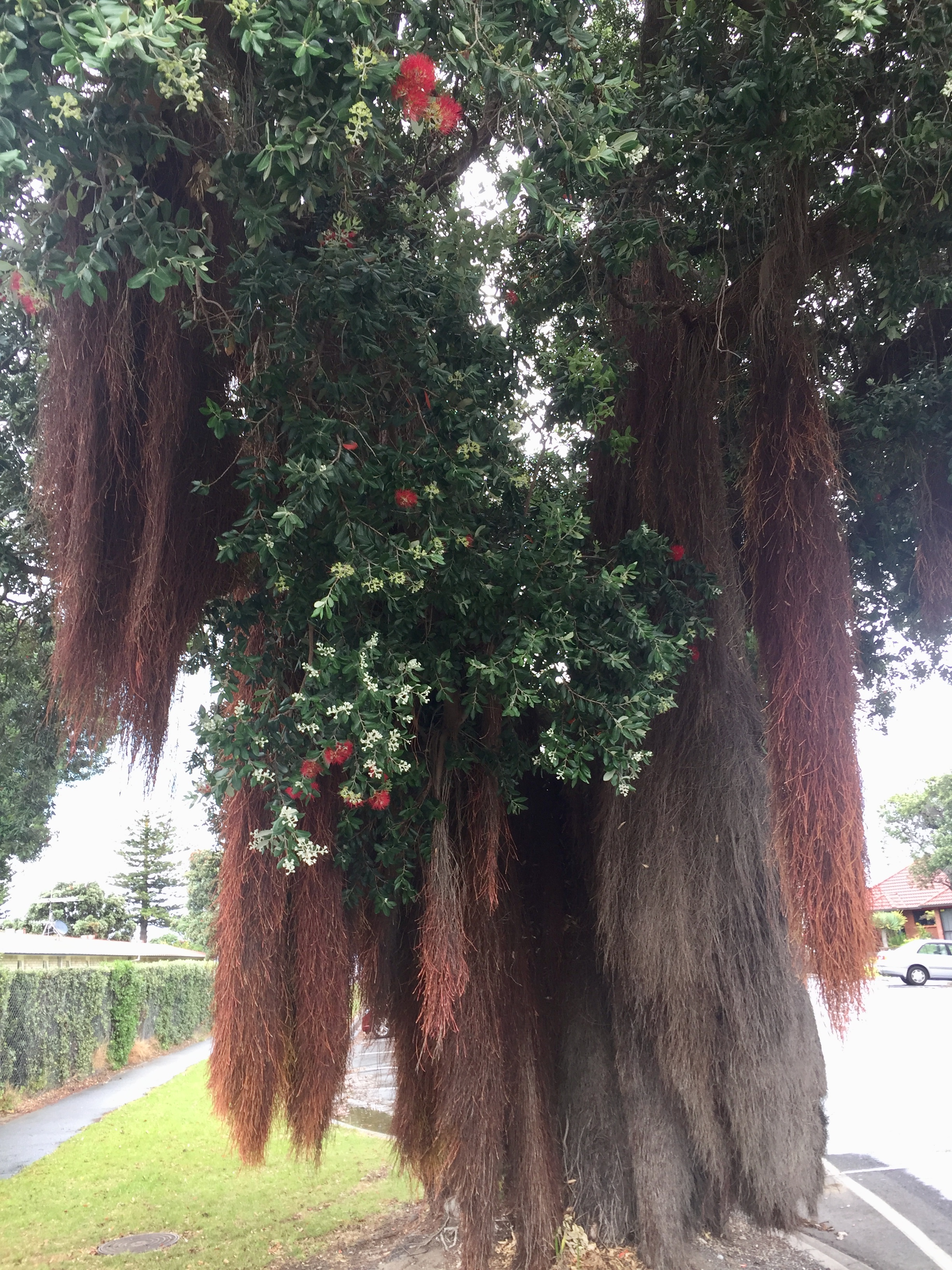Aerial roots on a New Zealand Christmas tree in Gisbourne, North Island, New Zealand