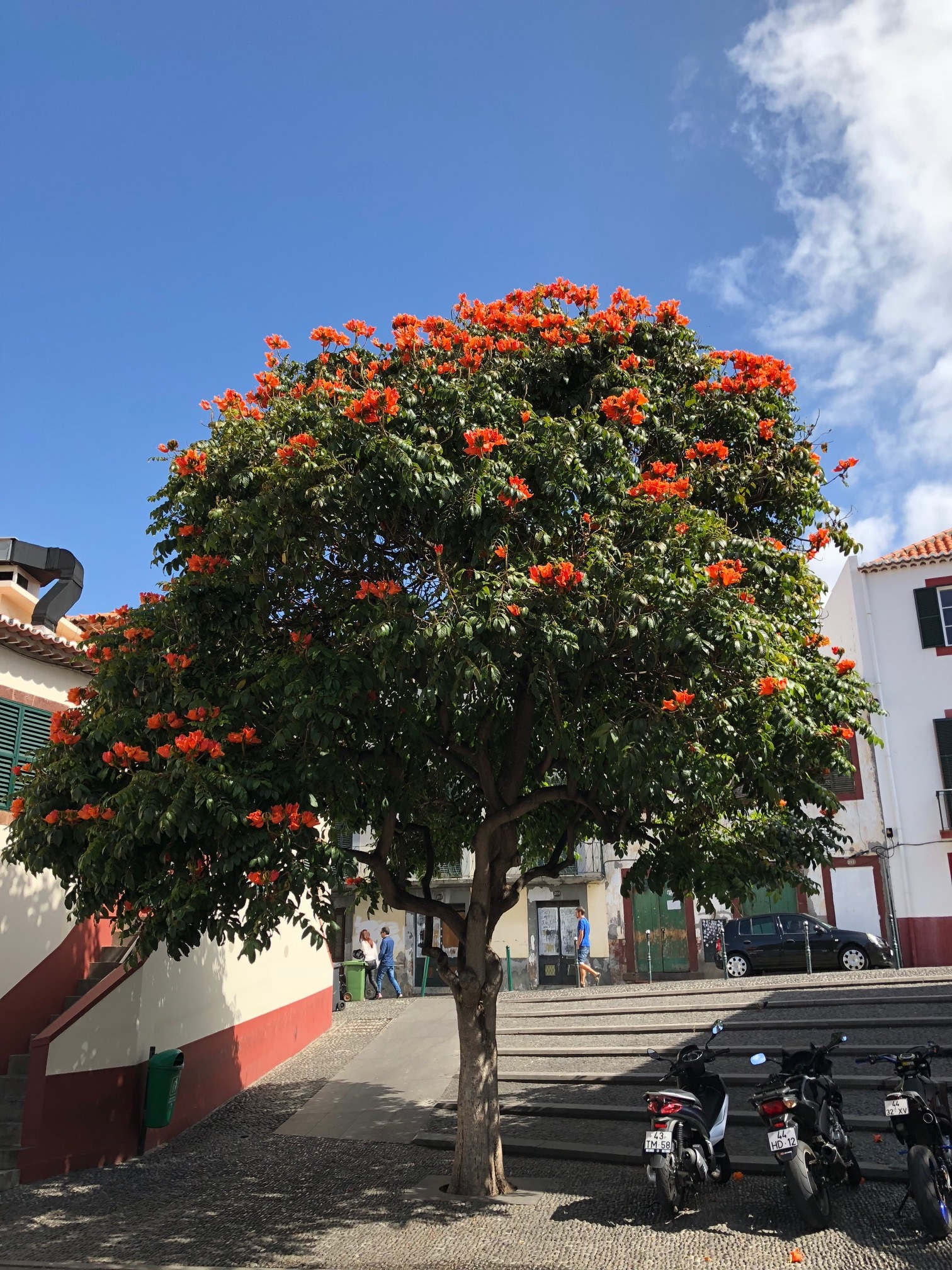 African tulip tree in Funchal's old town