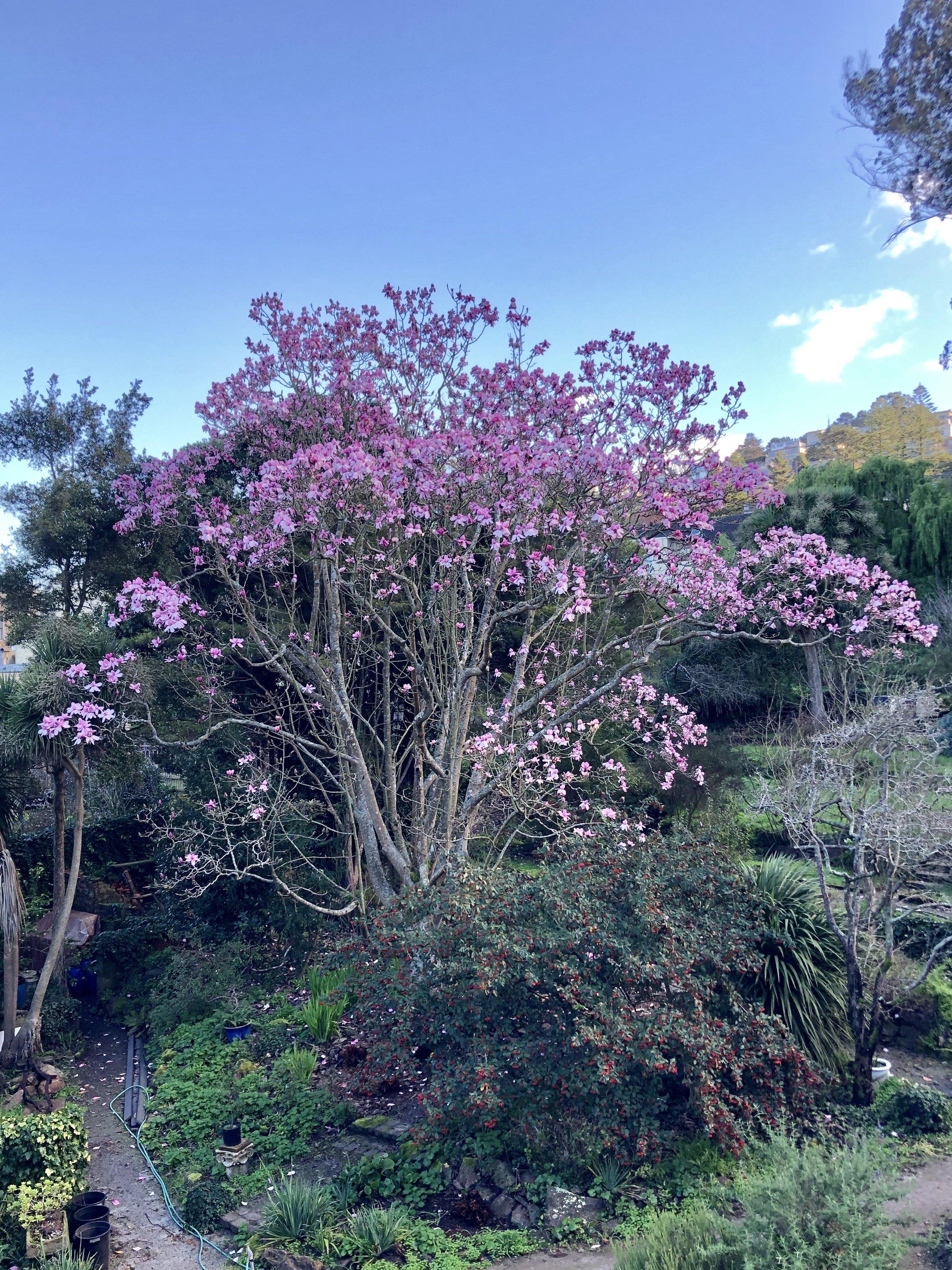 Campbell's Magnolia (Magnolia Campbellii ssp. mollicomata)