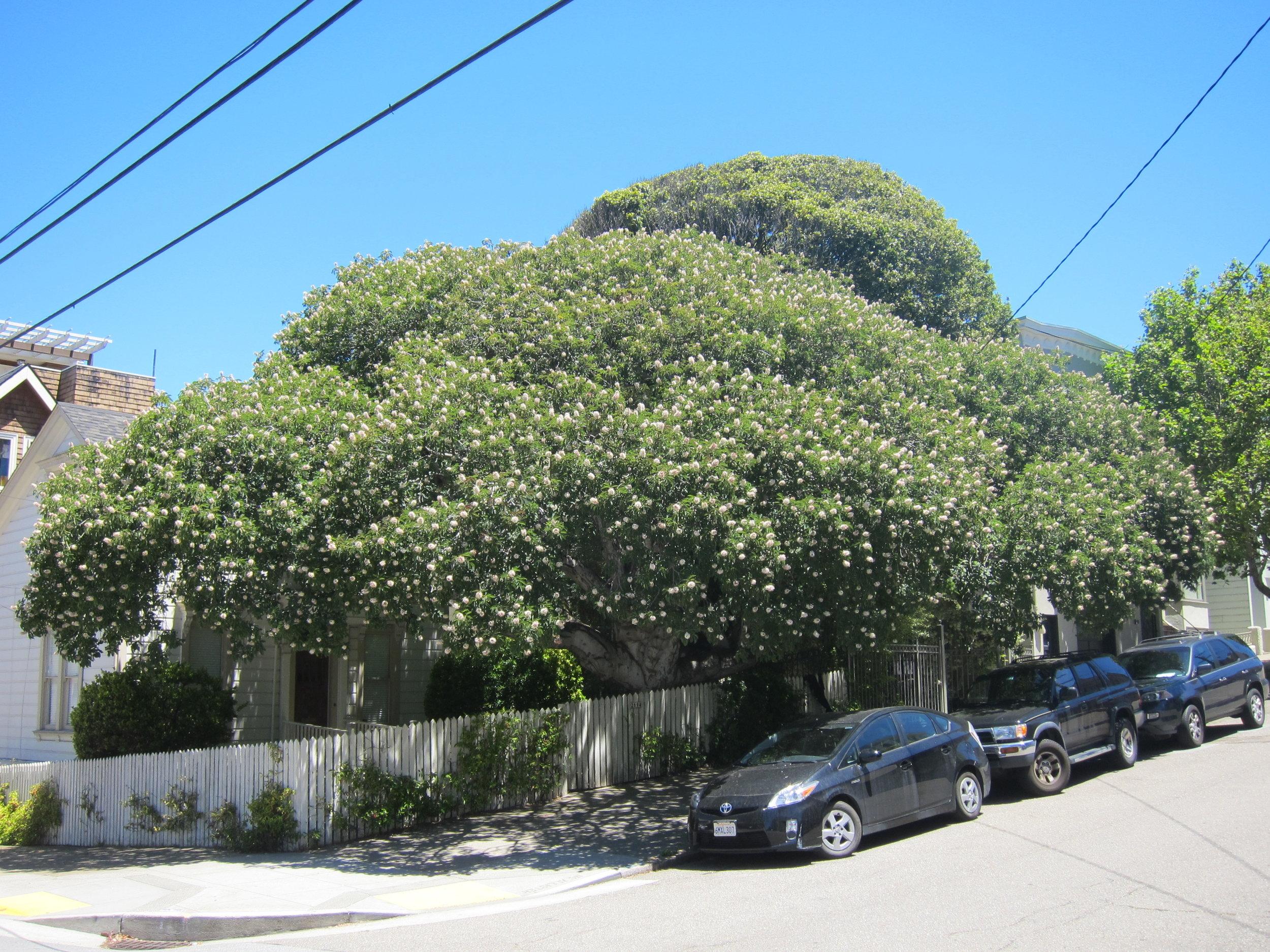 California buckeye tree ( Aesculus californica )