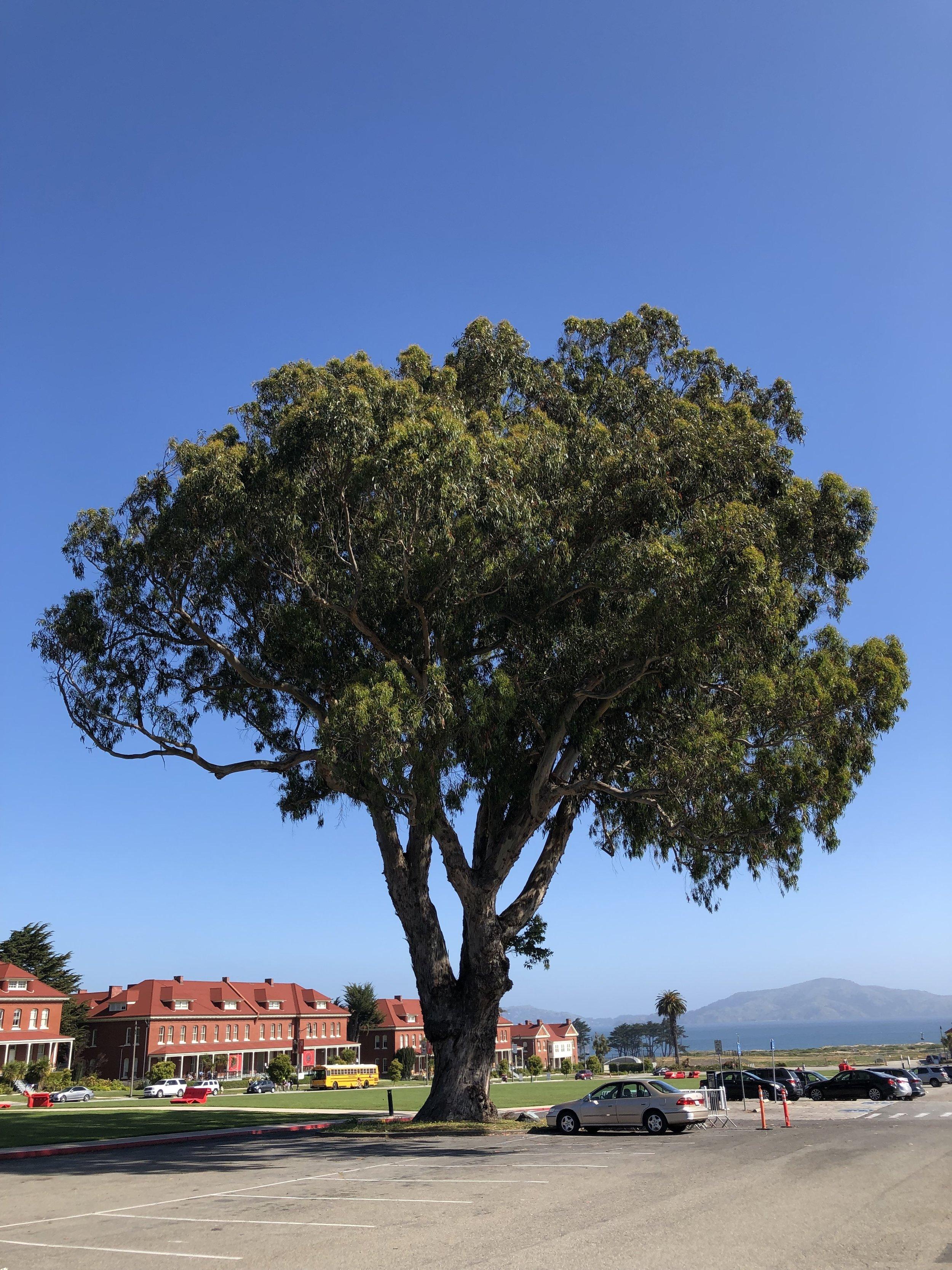 """Centennial Tree"" - blue gum eucalyptus ( Eucalyptus globulus )"