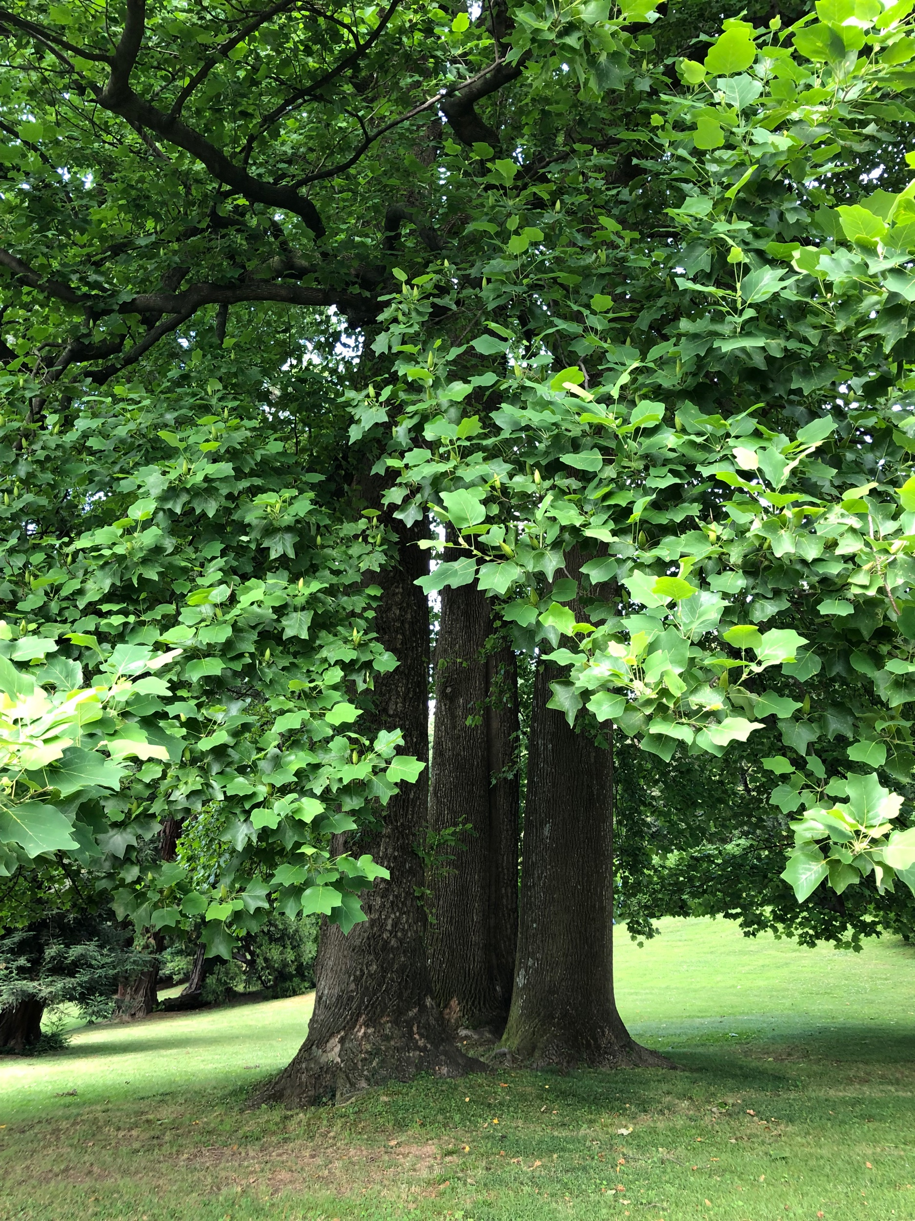"""Three tulip trees - """"exotic"""" to an early 19th century European"""