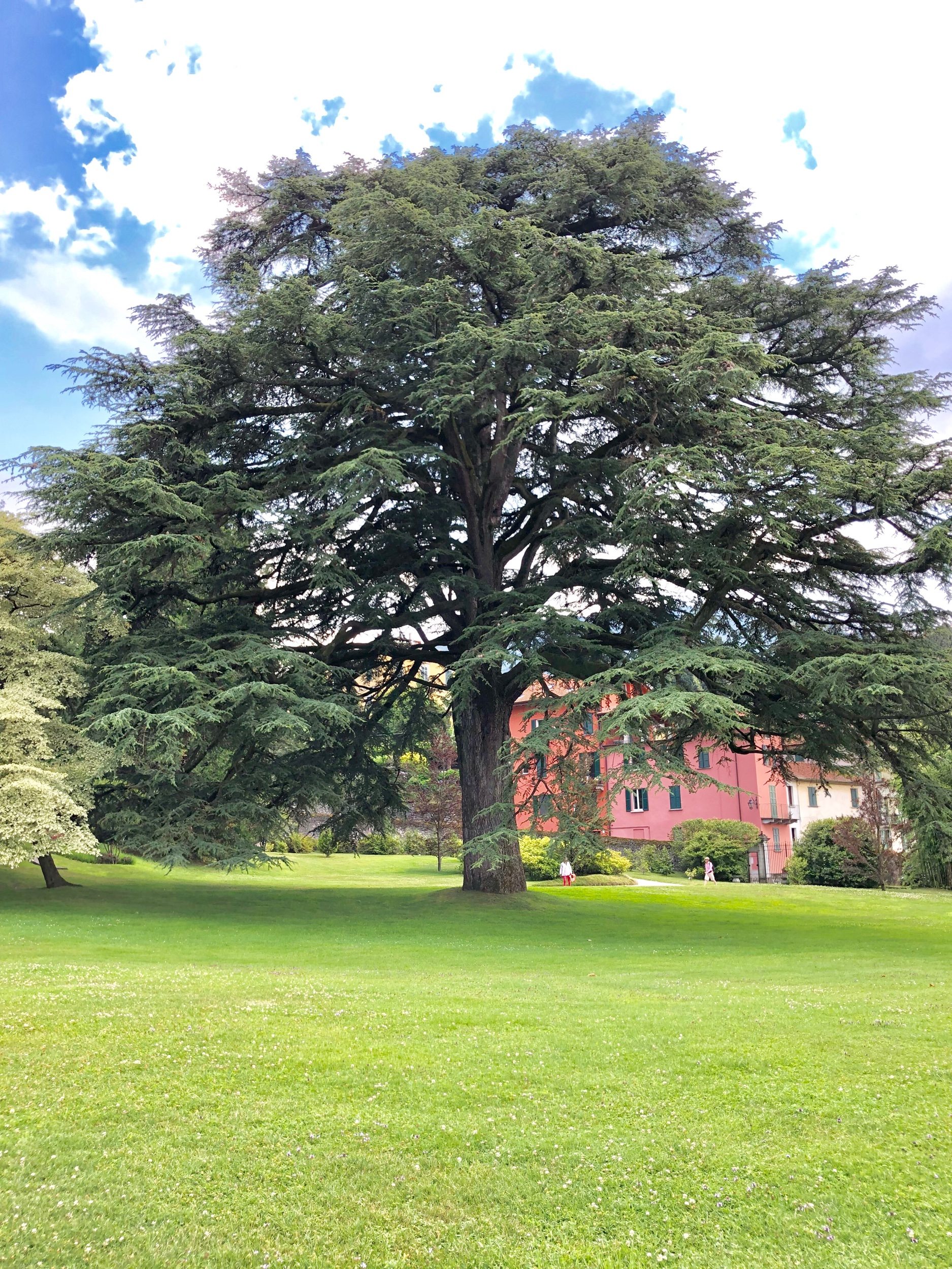 Deodar cedar (for perspective, notice the humans on the right)